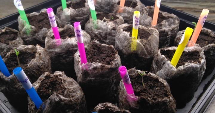 photo1 Tomato seedlings - Day 6