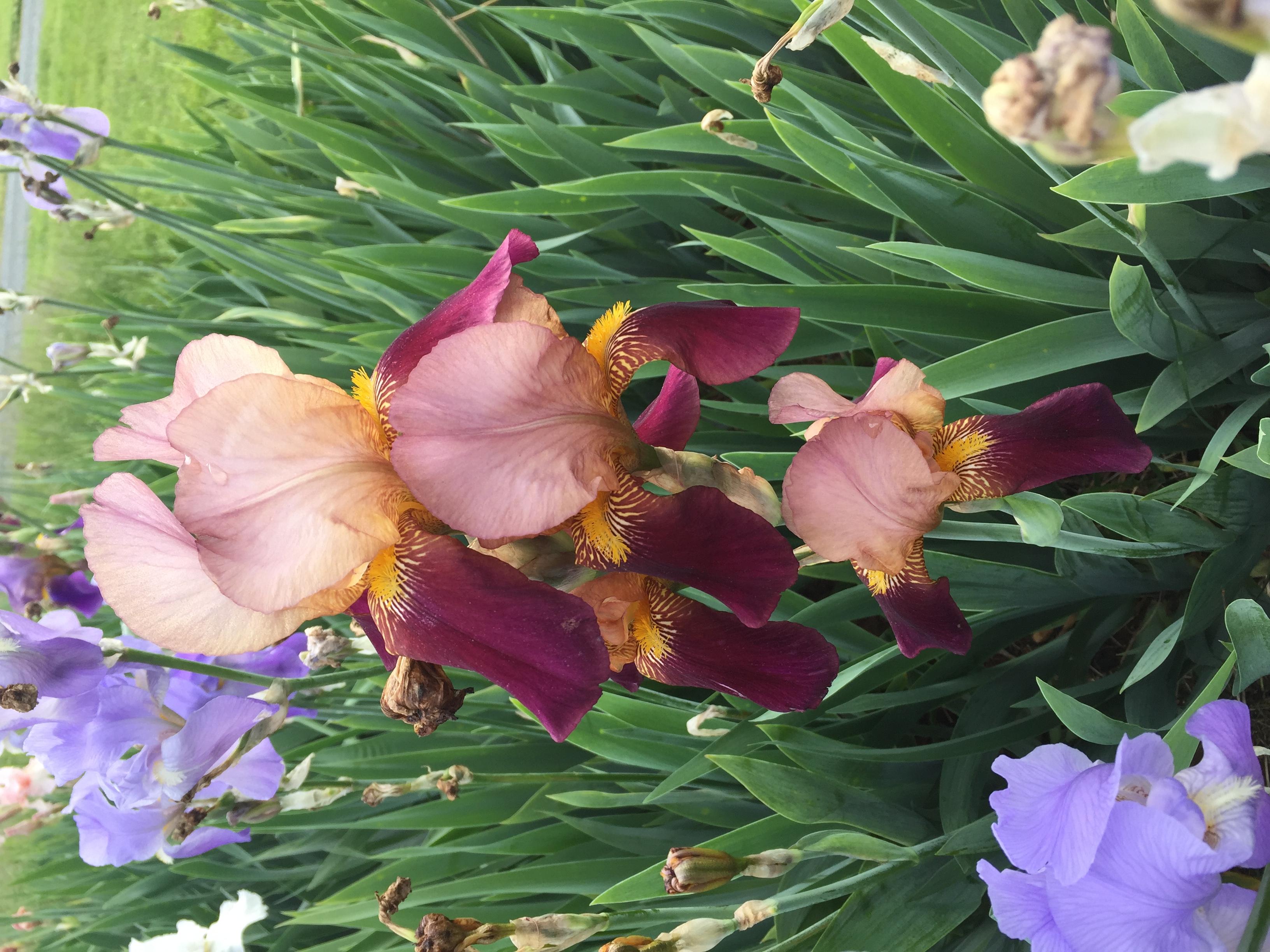 1FE5F391 4652 40B9 AF85 93B80F764E4C Irises, Roses, and Azaleas — Oh My!
