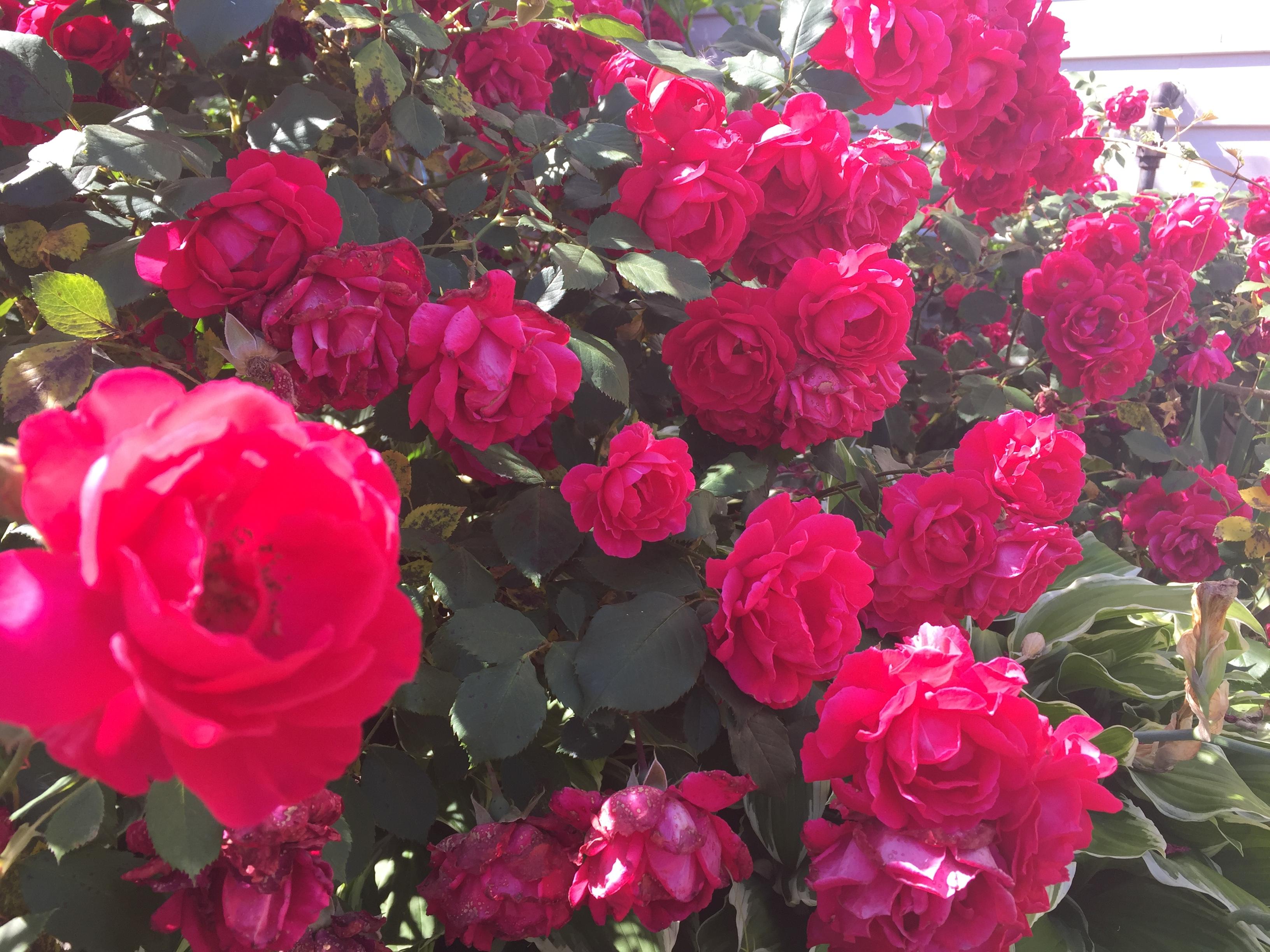 20B84F9E 08B6 47F4 8163 8AC1C25EB42D Roses in full bloom!