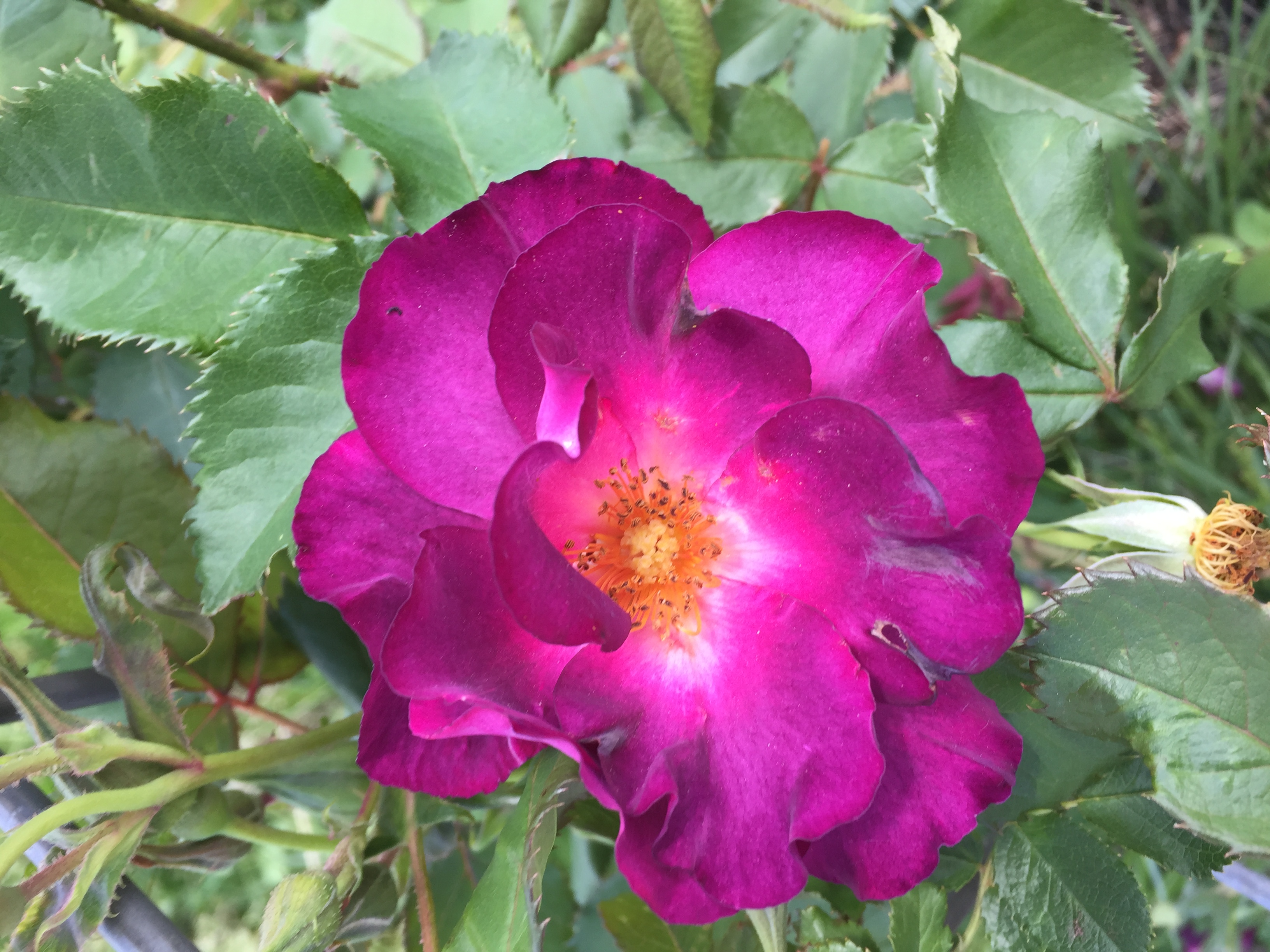 3CC0411C FBC8 48B8 8AF1 0BDC69B480C9 Irises, Roses, and Azaleas — Oh My!