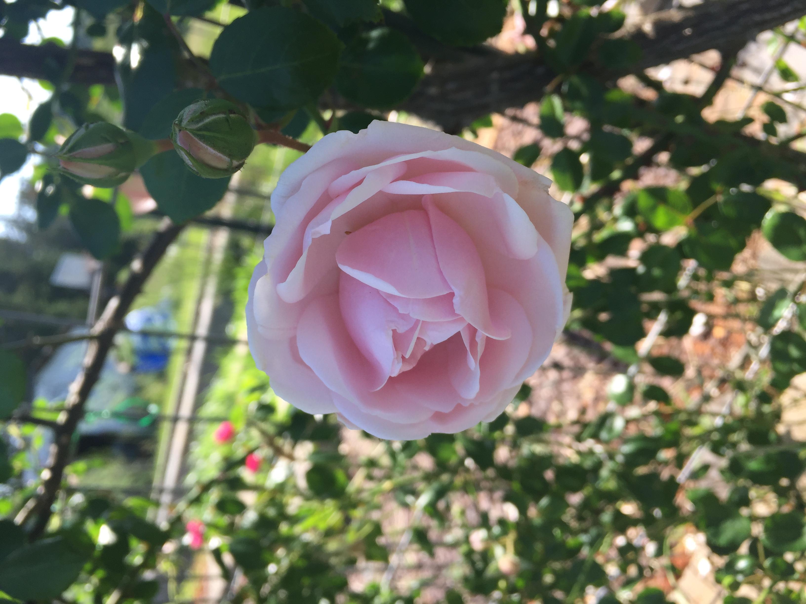 41E6B082 12A6 430D A839 AB06D8389603 Roses in full bloom!
