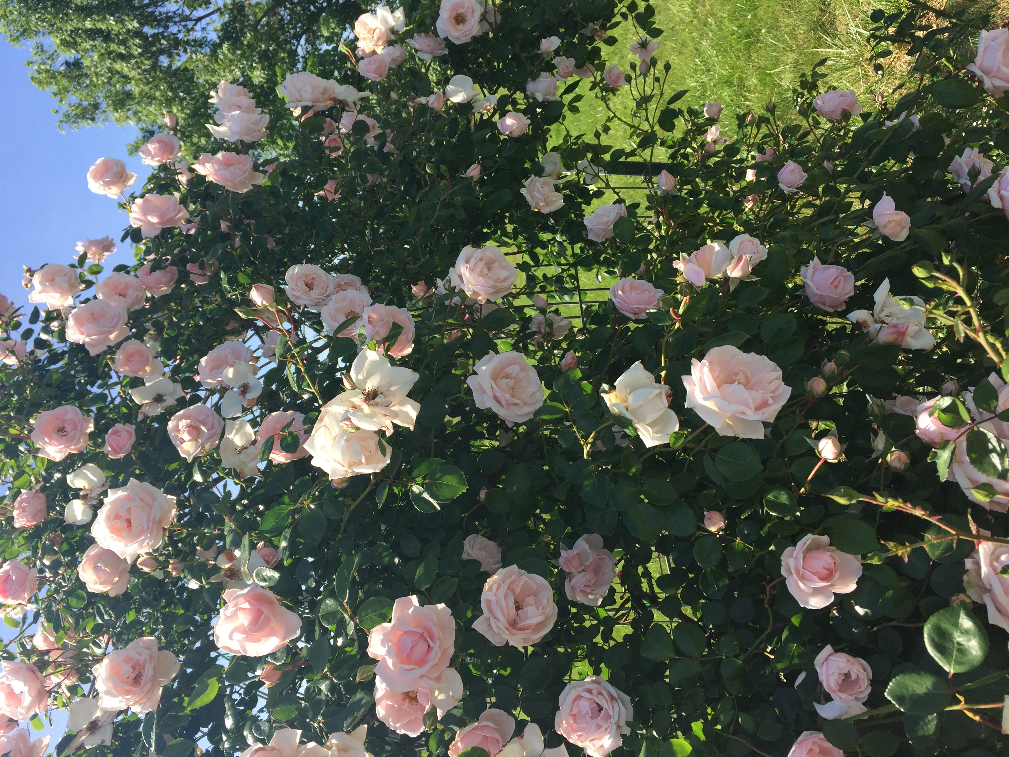 54AE3EFA F5CD 431B 8BE7 27BC8FAAA136 Roses in full bloom!