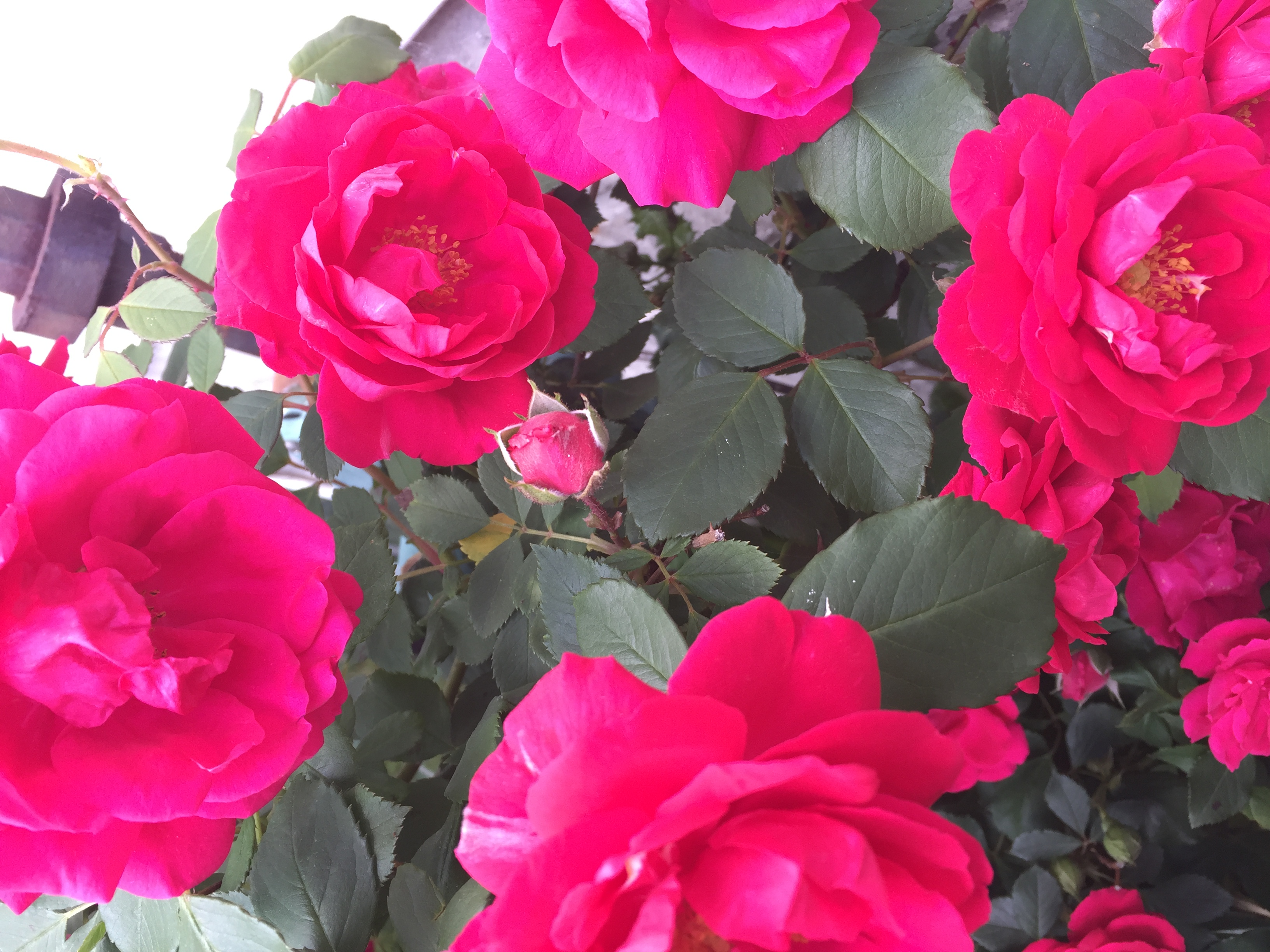 7CE4BB4A 756F 43C8 98DC CA74756B164D Irises, Roses, and Azaleas — Oh My!