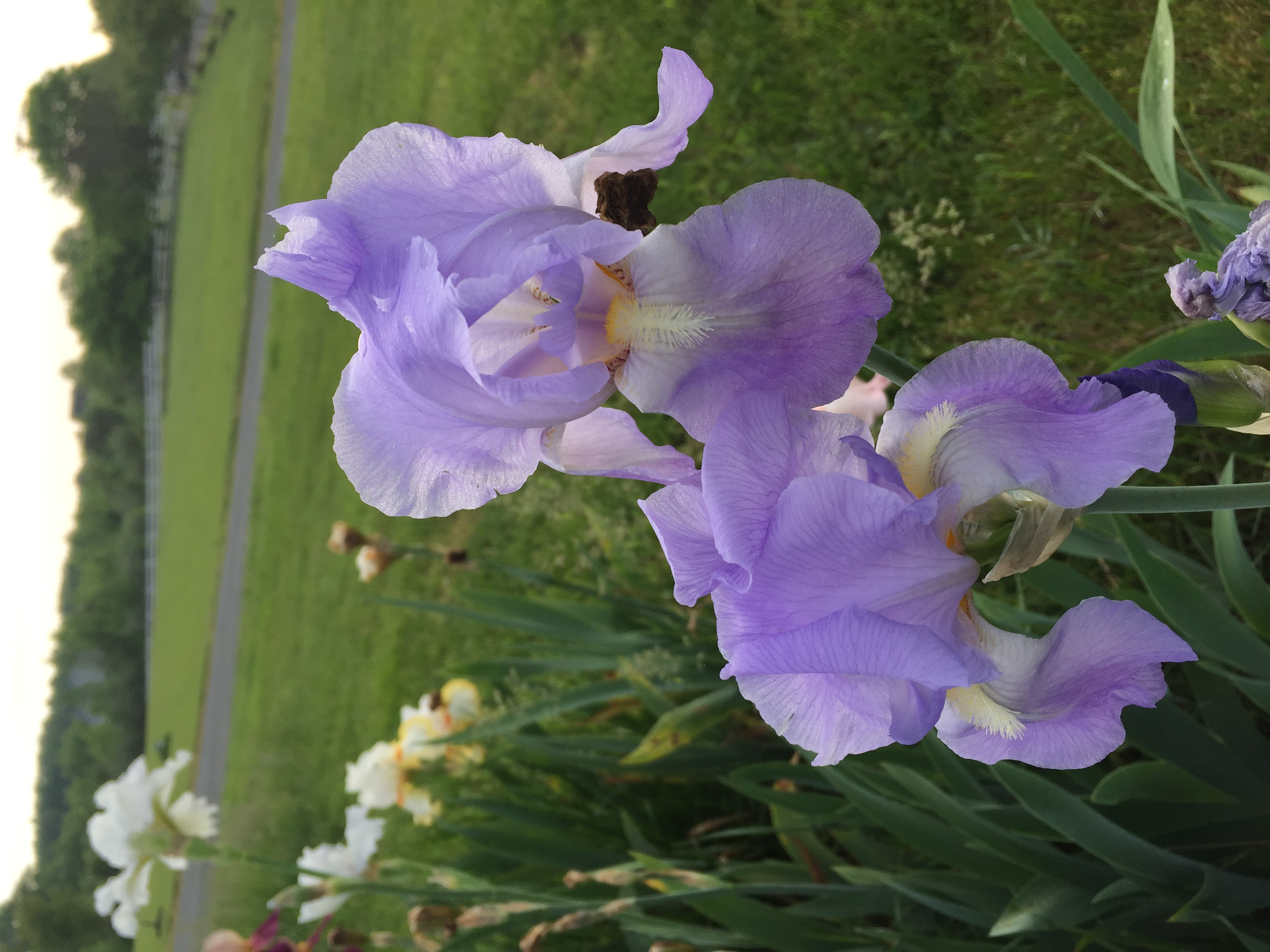 912BA993 3E79 4BF3 BCF2 55B9D3A975DC Irises, Roses, and Azaleas — Oh My!