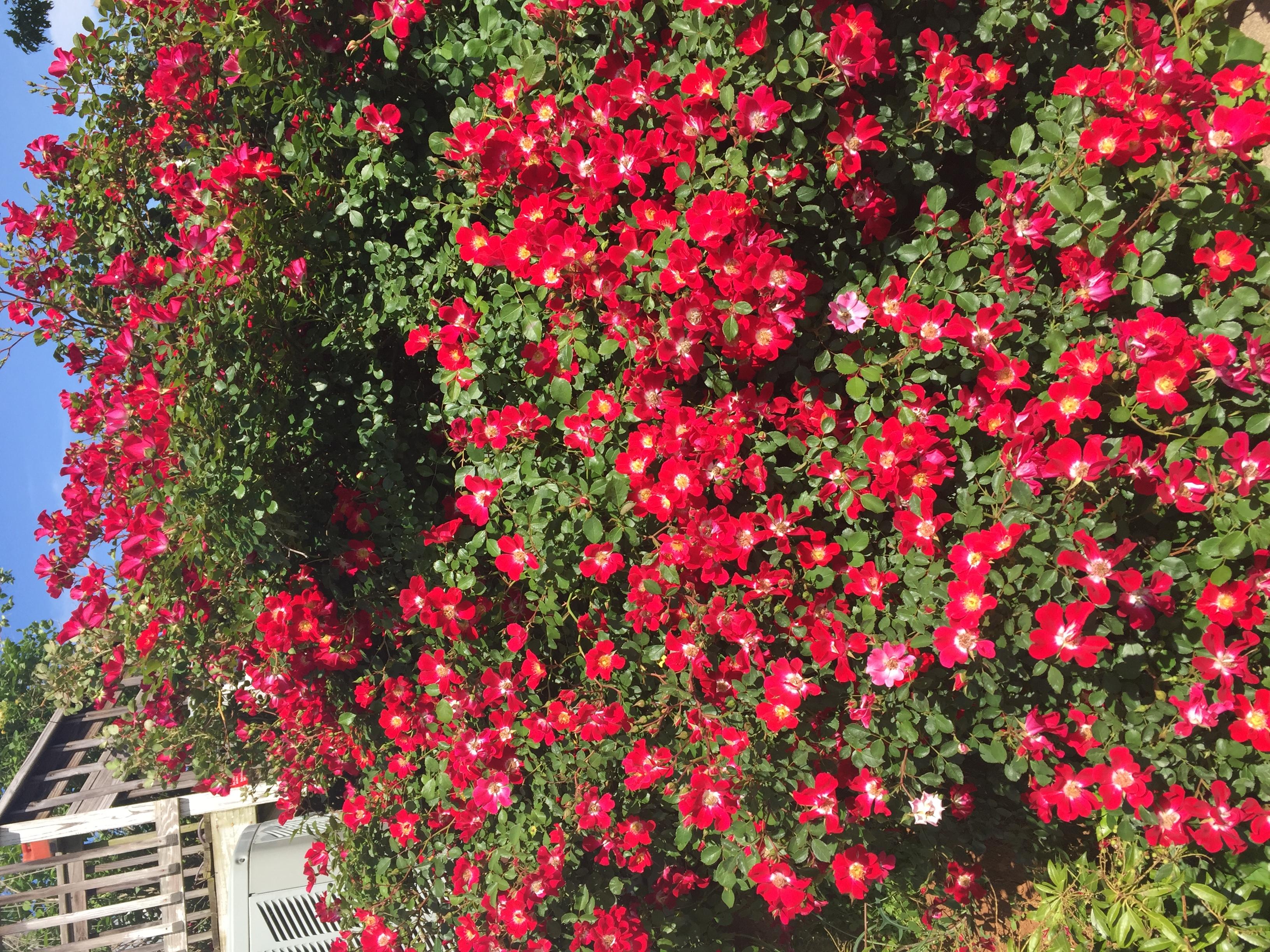 9C7ADDFD C002 4C23 AD25 BAD8B323329B Roses in full bloom!