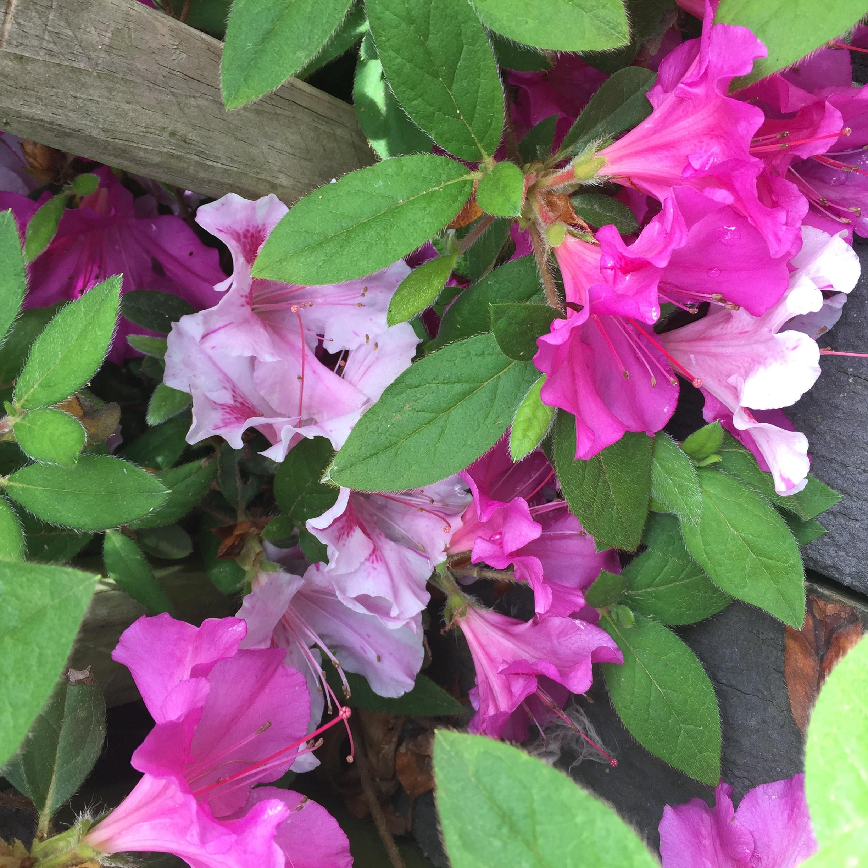 B16E1418 2529 4E91 89F0 7BC7FAA3786C Irises, Roses, and Azaleas — Oh My!