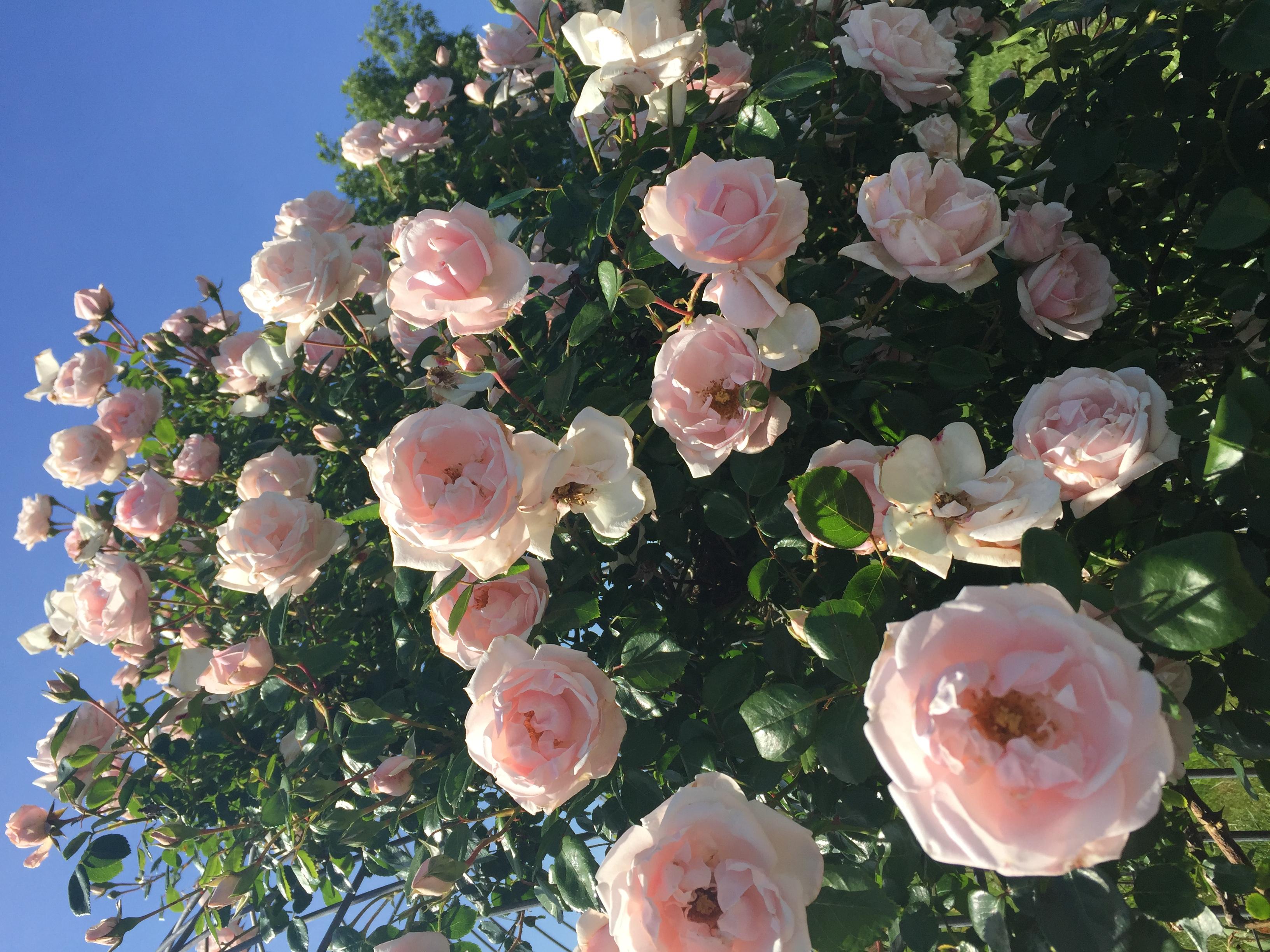 BC1565CF 0FAE 47FF AA30 579B8E632D0D Roses in full bloom!