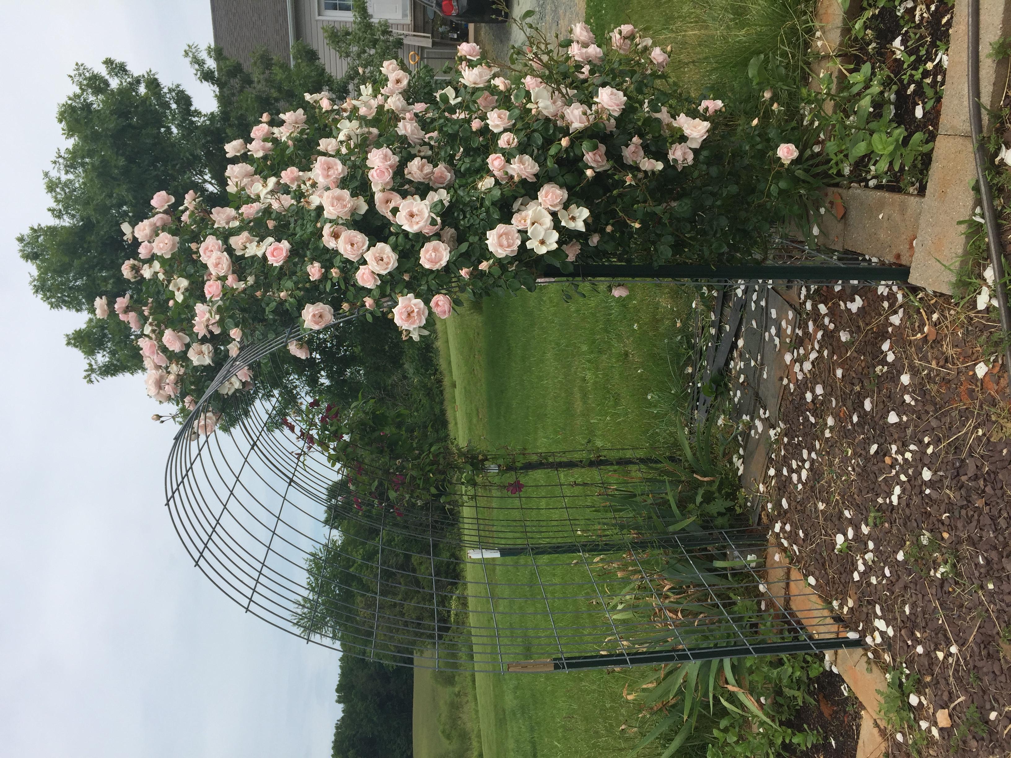 C8351BFE 407E 4E34 8DED 50281C7D4F61 Roses in full bloom!