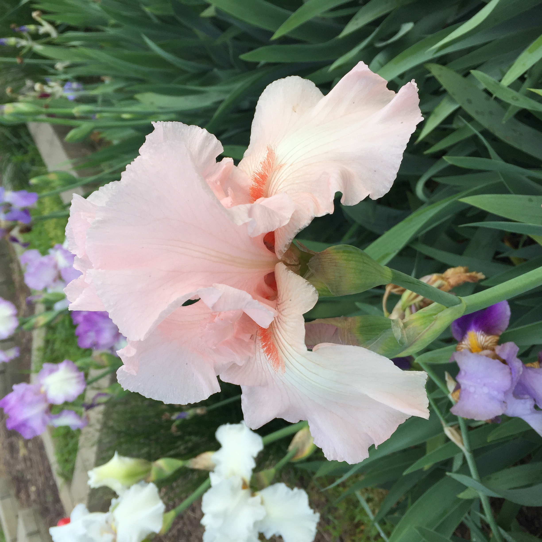 DF849C18 C066 4634 8955 DD2F9B466A36 Irises, Roses, and Azaleas — Oh My!