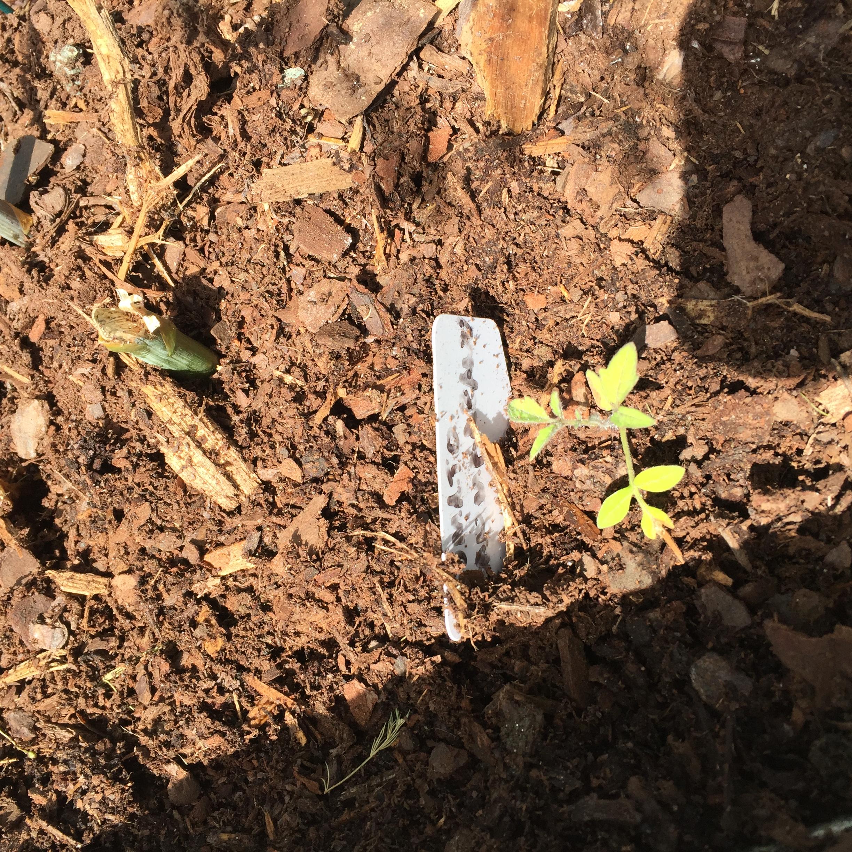 EF6400A5 A9A8 4F60 8D15 283DBD45A1A5 Del's Tomatoes