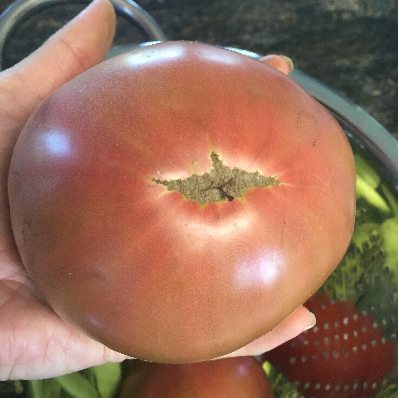 50C1A928 AB48 4F64 939A 20CA94E8CDC7 Bring your tomato to lunch day