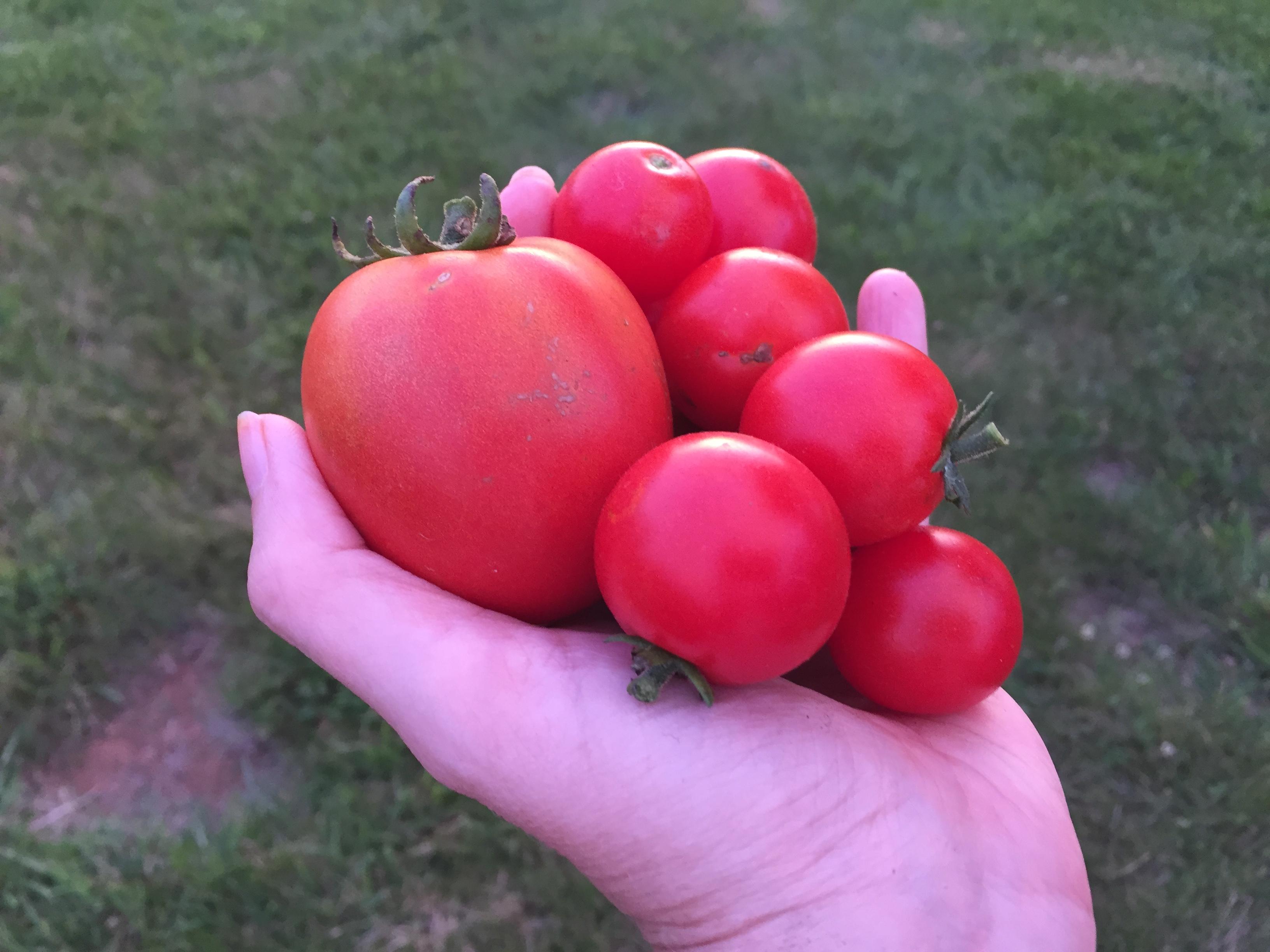 """D1DF2C16 9B33 48AA 8482 E74392E8BDBA 2019 First """"Real"""" Tomato"""
