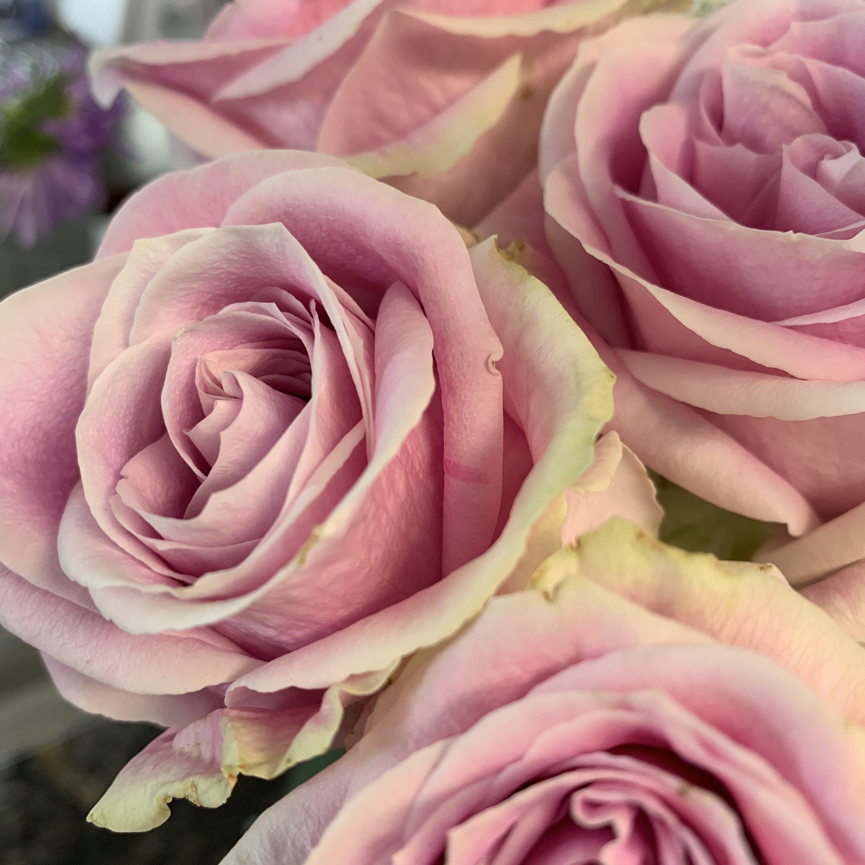 02A25777 5E6C 4FB6 8696 962FF6944EF4 Roses