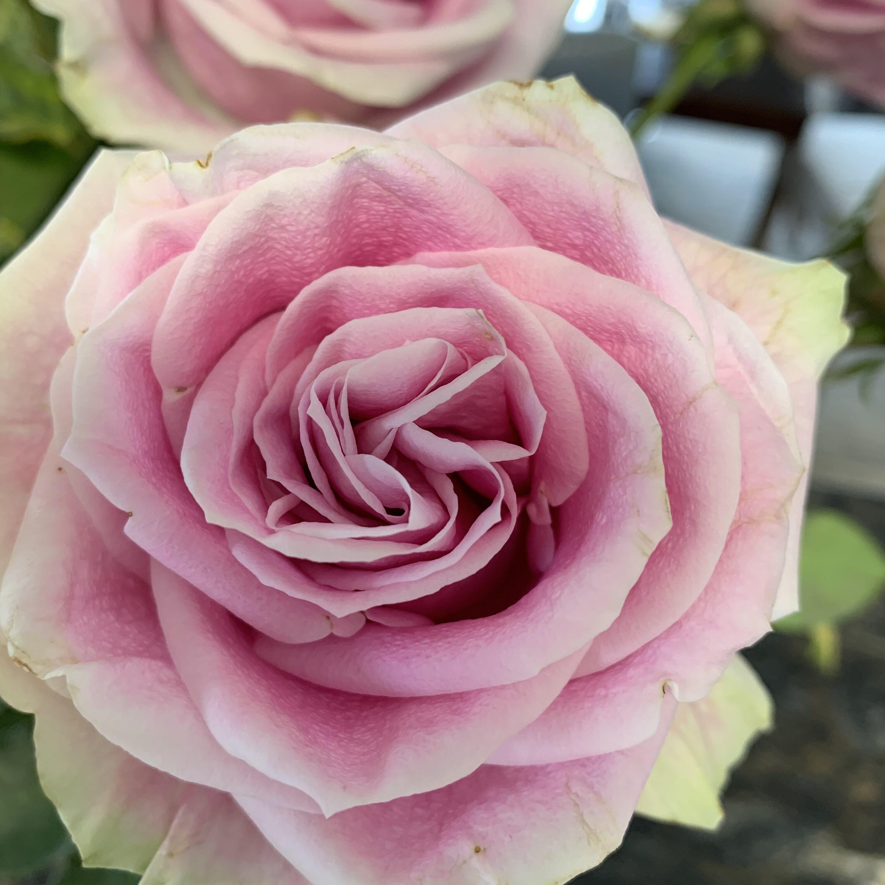 0BCED53E F797 40E3 8777 AF15606E252B Roses