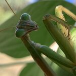 1852DEC2 8BF5 4EB1 B021 39867B173B5E Praying Mantis