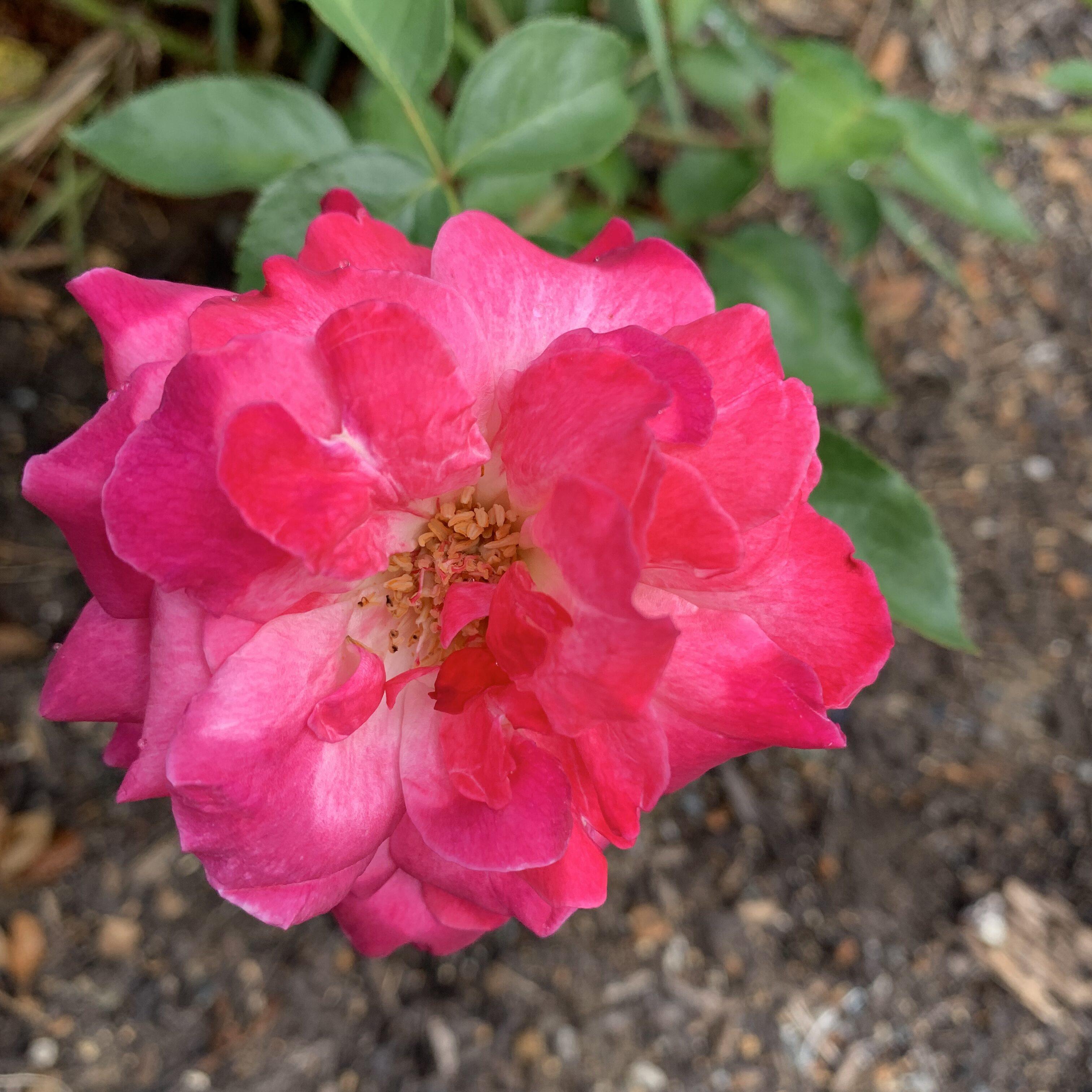 2FA8E3BE EDBF 4762 AF10 F8896D00D247 Roses