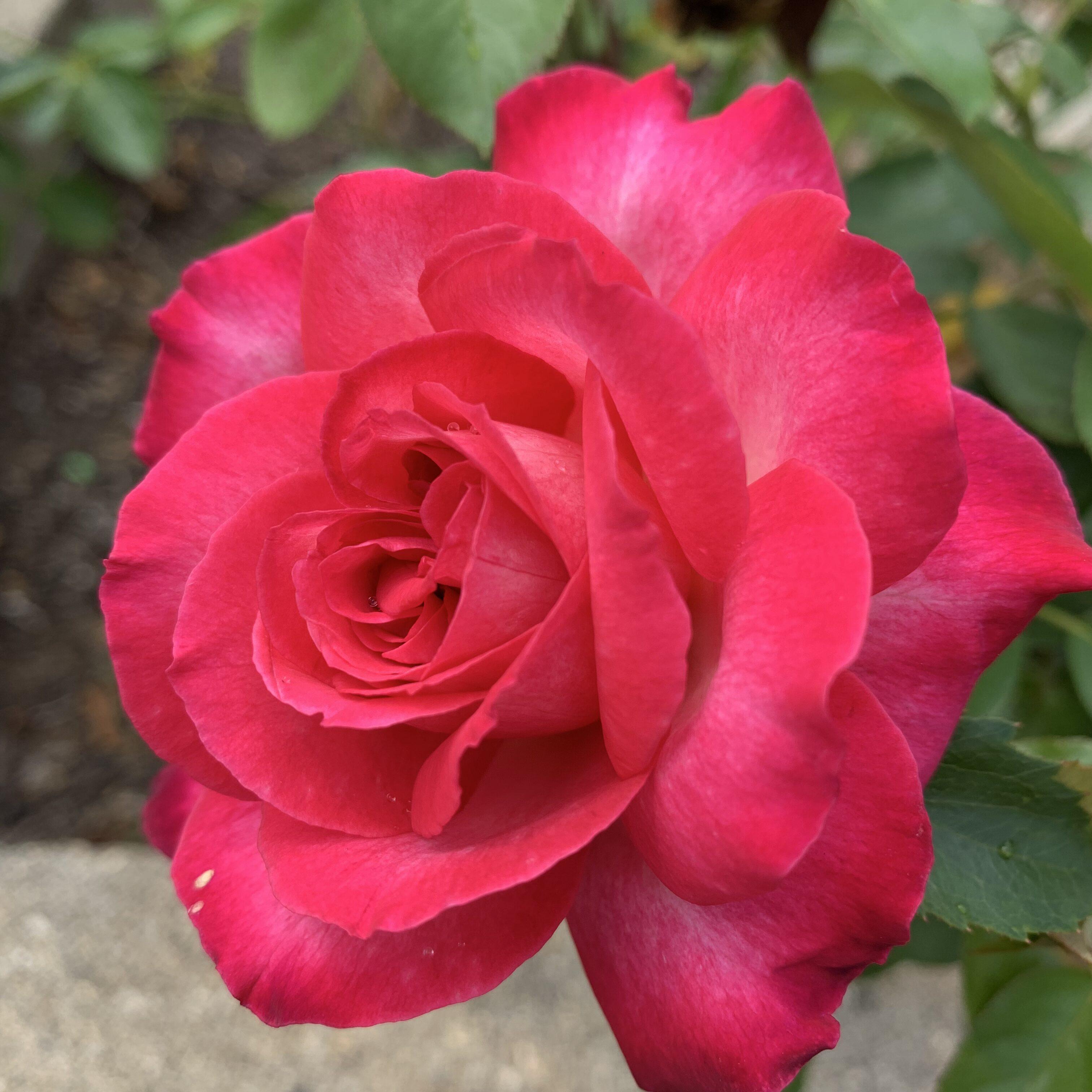 3B000513 D751 42F0 94FA 06329BEEA0E1 Roses