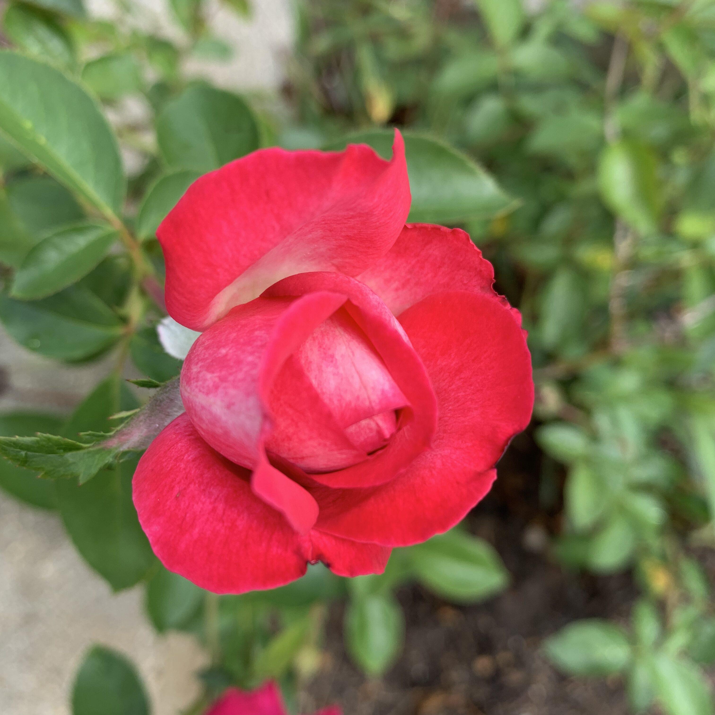 AA1DE6A7 6C91 4272 AD26 036C4E6BC441 Roses