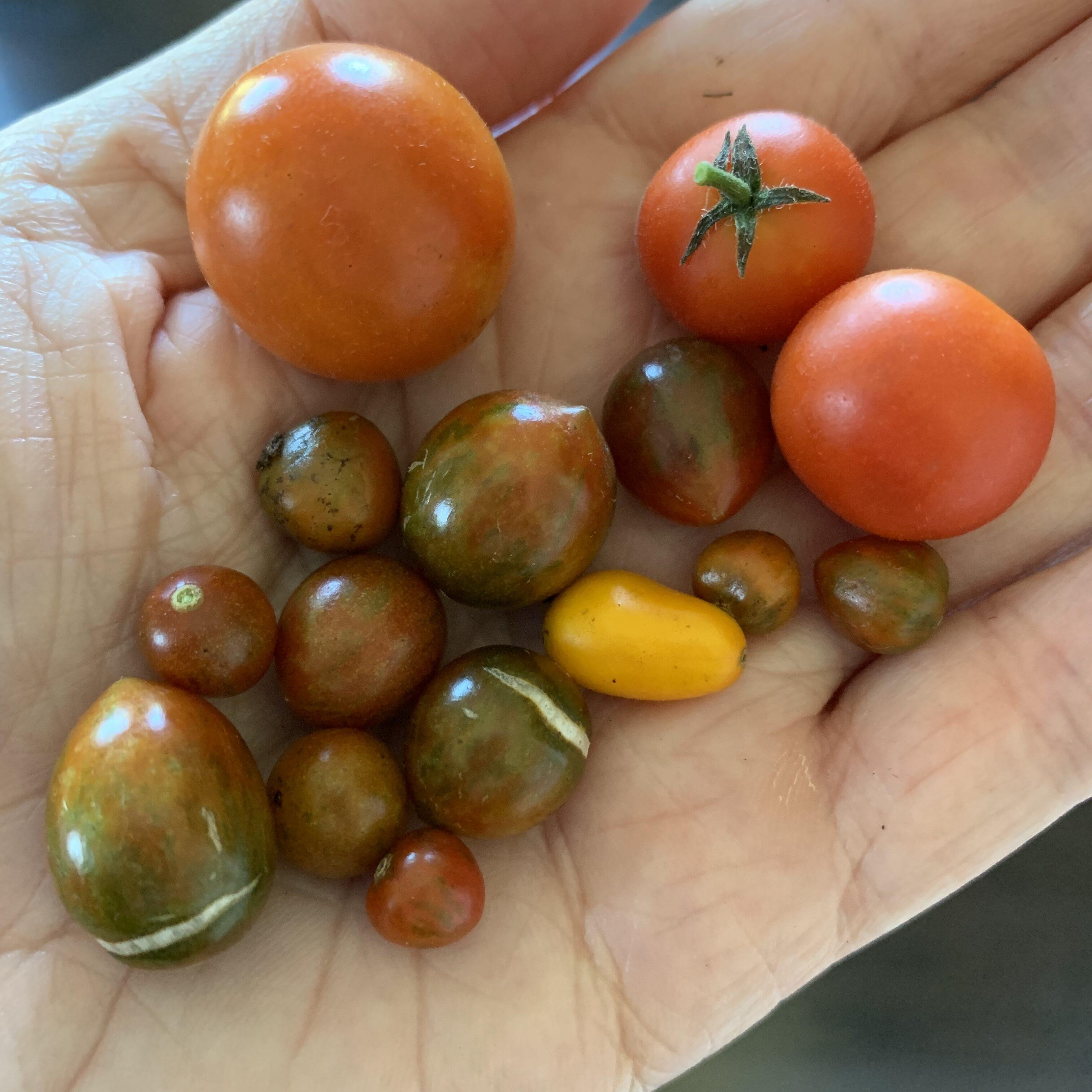 F8E6B614 A3E5 4BBF B604 882561421DB7 Teeny Tiny Tomatoes
