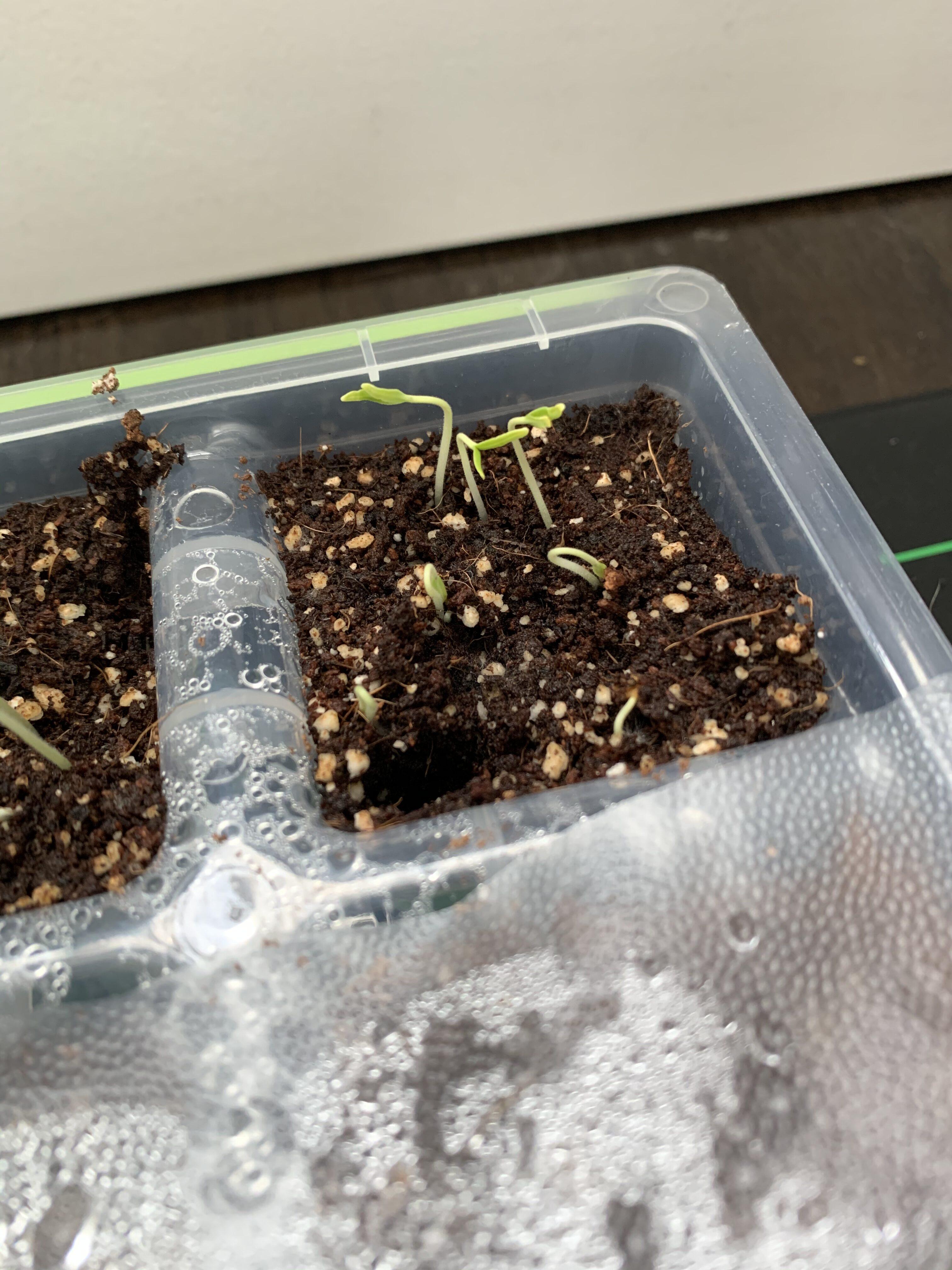 8B3B7D27 DB5E 4D84 BA46 D6556C1F6E82 How fast do tomato seedlings grow?
