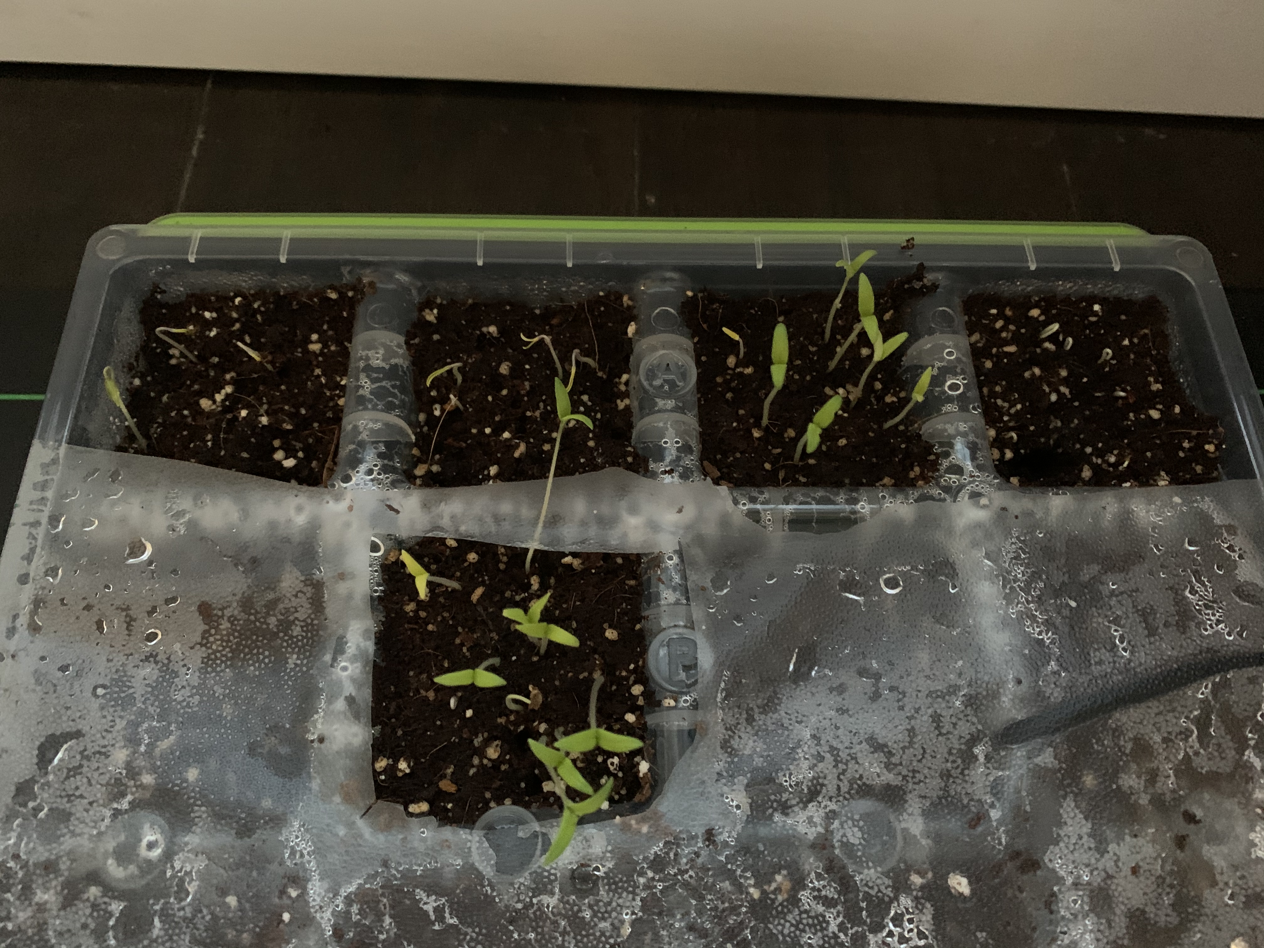 98785B25 93BA 444A 941A F23FA5B6999F Seedlings Day 5