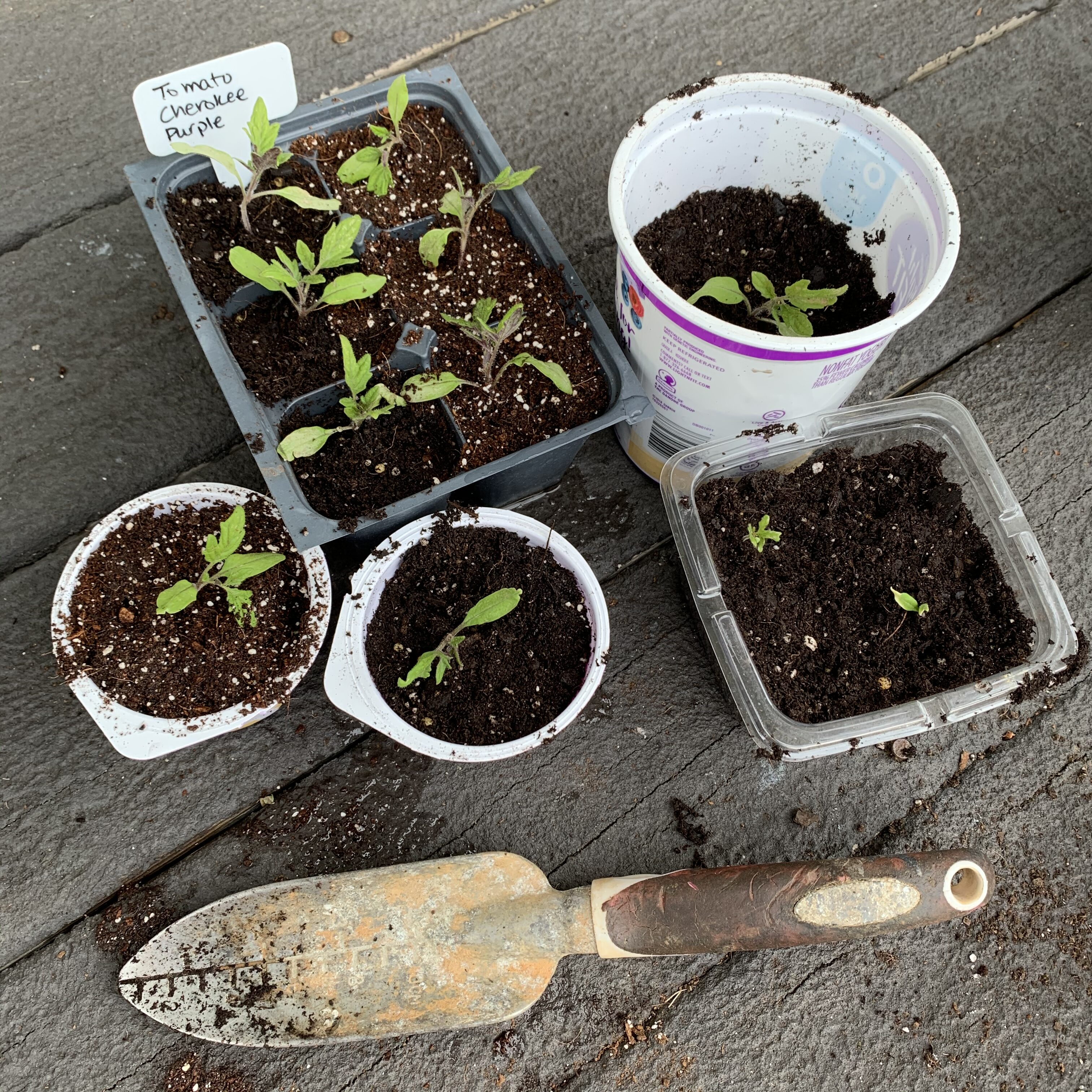 05F5679A 19B0 4262 8122 C3A00AAF080D Comparing Burpee Organic Seed Starting Mix vs Miracle Gro Moisture Control Potting Mix for transplanted tomato seedlings