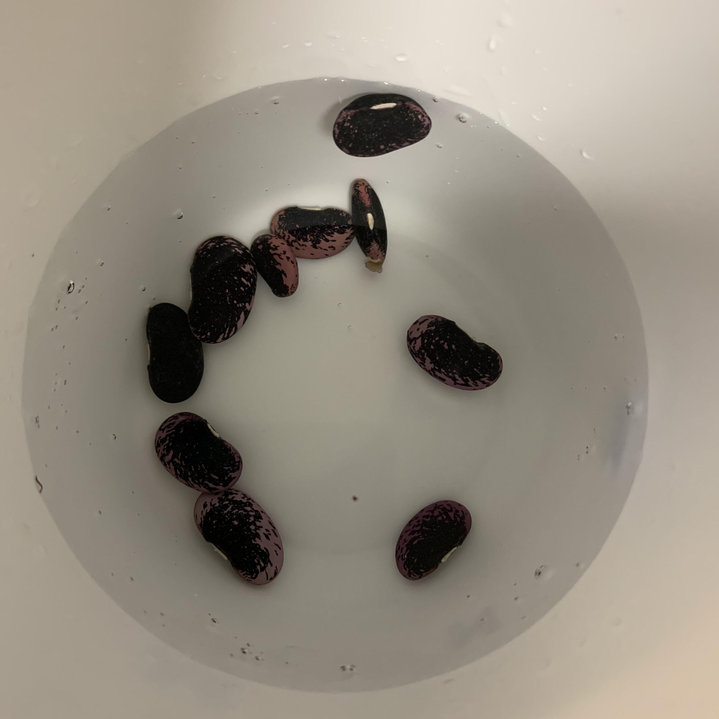 09D429DA 333D 40E4 88CA FD3119331394 Sprouting Scarlet Runner Beans in a plastic bag
