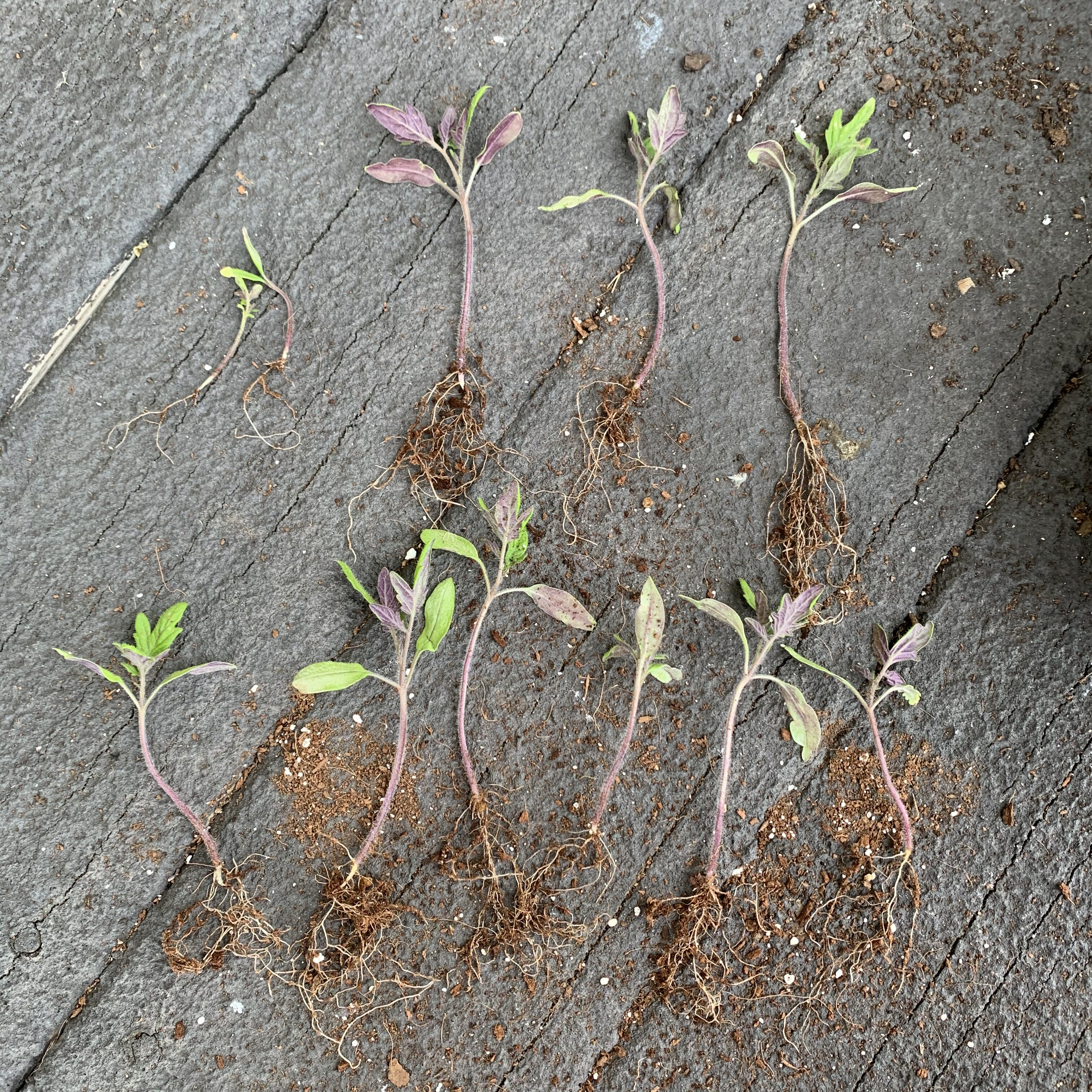 3FEC781F 02F8 4737 A77D 2C4139B0ABC6 Comparing Burpee Organic Seed Starting Mix vs Miracle Gro Moisture Control Potting Mix for transplanted tomato seedlings