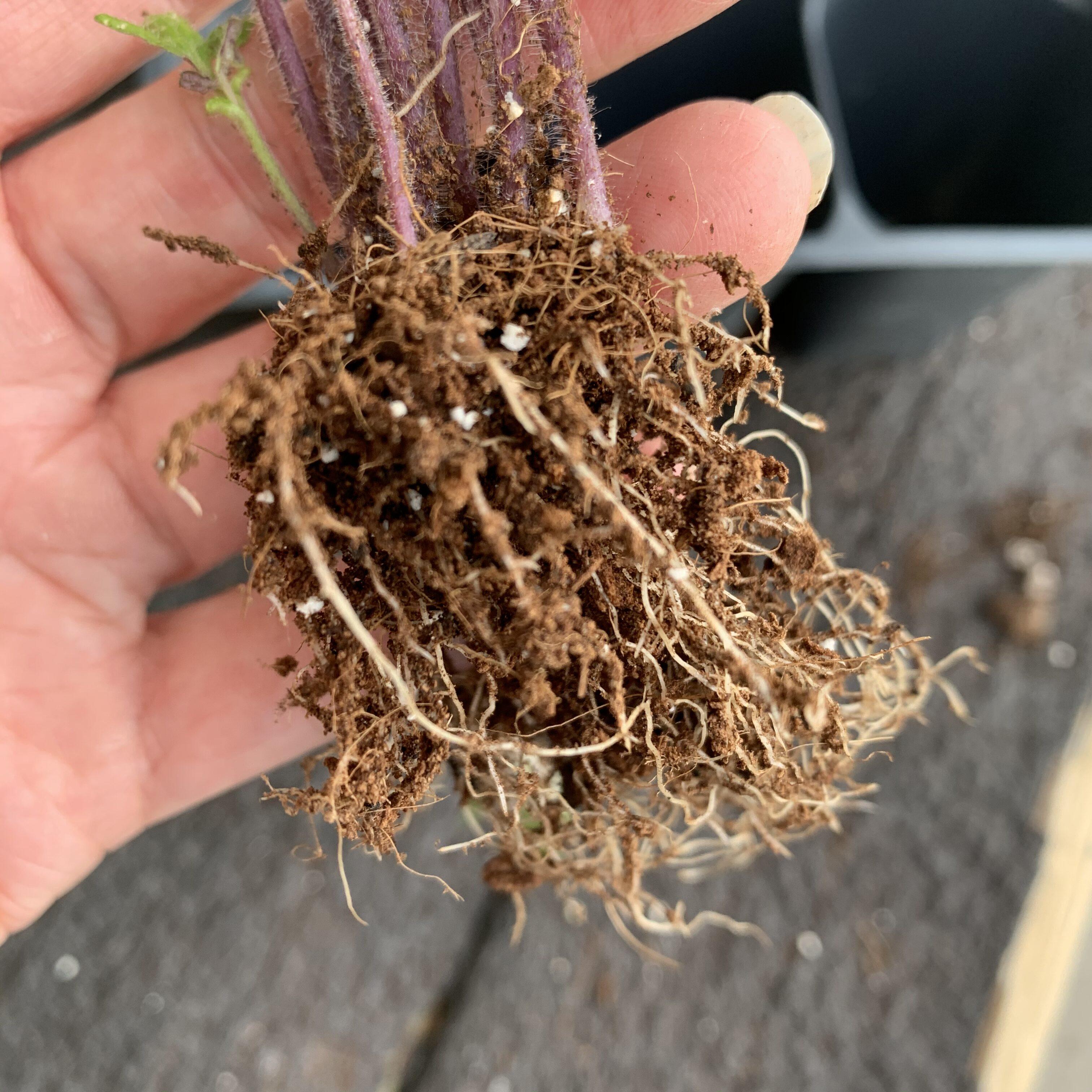 63D19CFC E58C 4471 8E99 D475BDB52F38 Comparing Burpee Organic Seed Starting Mix vs Miracle Gro Moisture Control Potting Mix for transplanted tomato seedlings