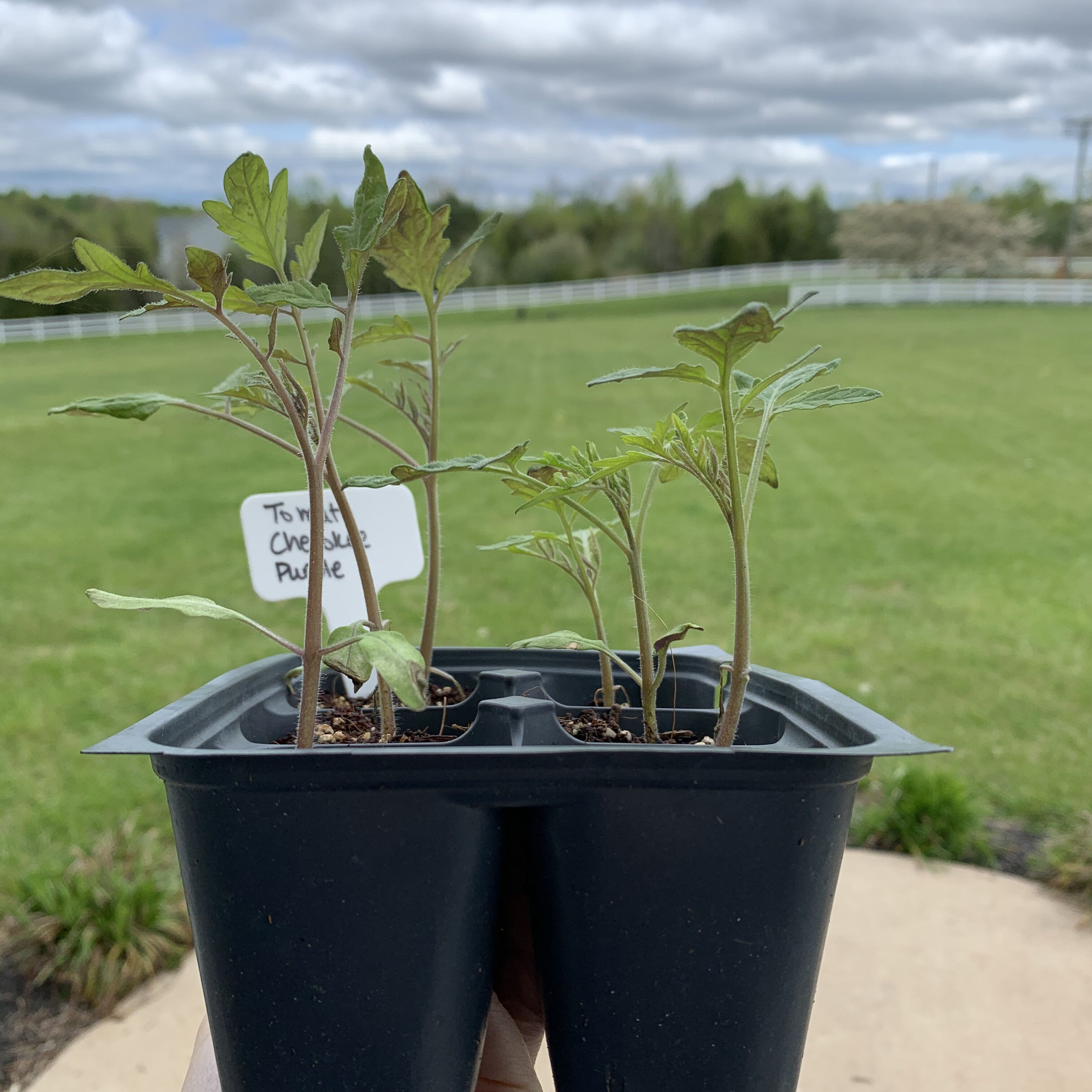 A6CBB968 04A7 4C27 8310 91B055D6CB02 Comparing Burpee Organic Seed Starting Mix vs Miracle Gro Moisture Control Potting Mix for transplanted tomato seedlings - Results