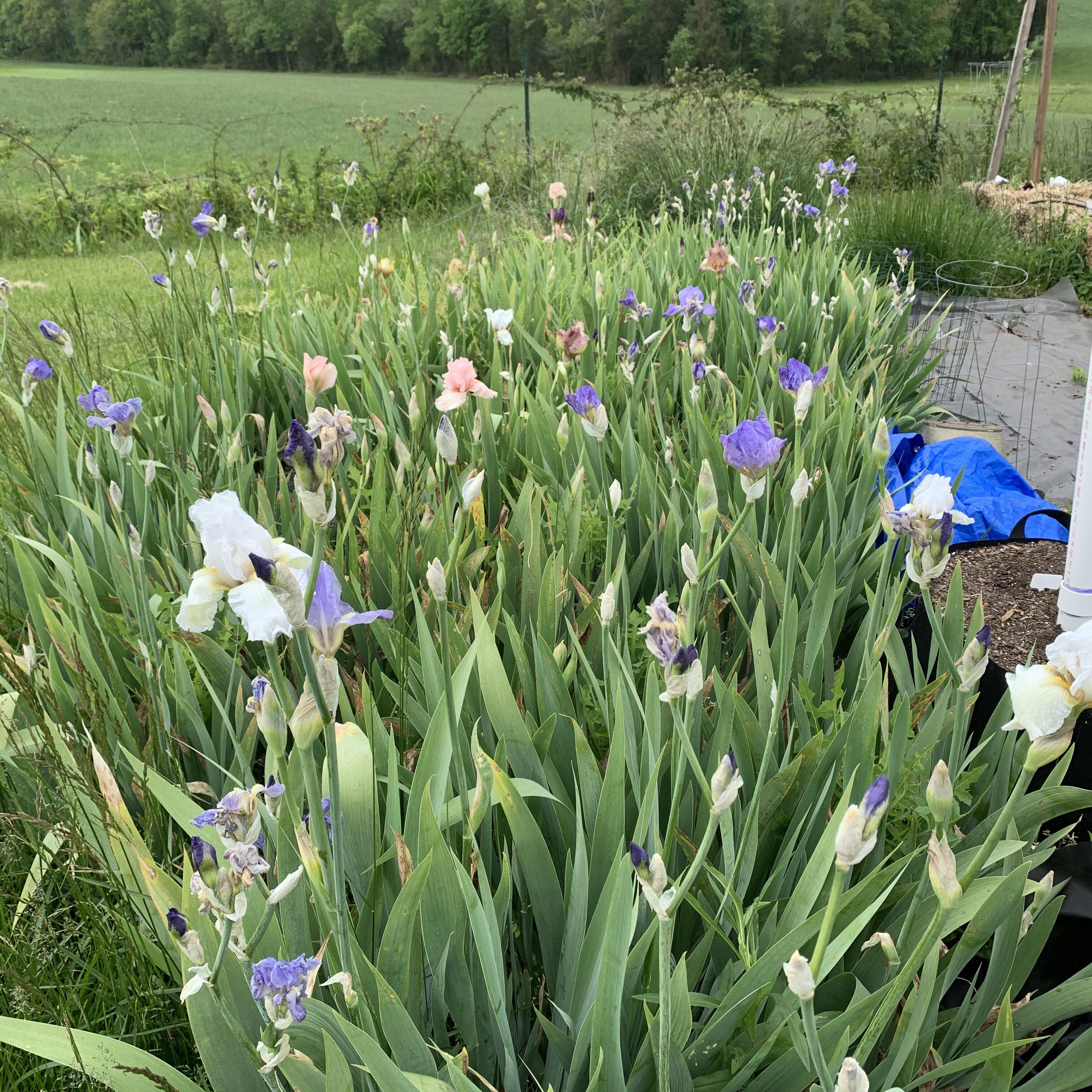 57C889E0 6284 473A 8EB4 8FB7F59275B6 Tomato planting day!