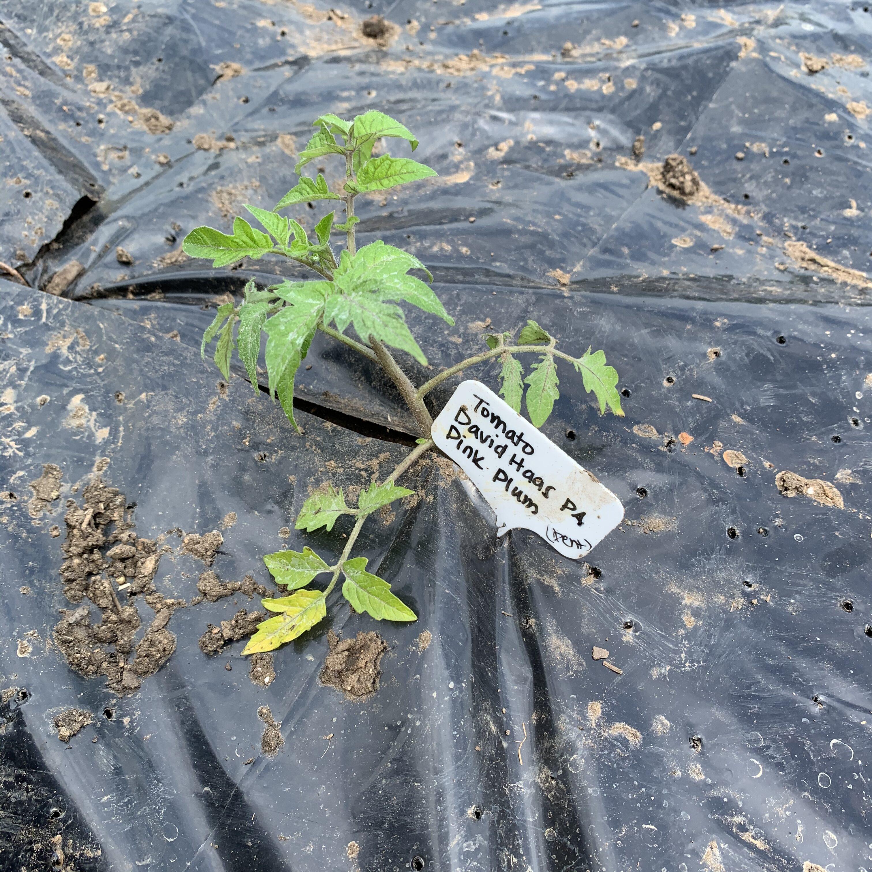 7022A892 45E7 4EC2 89CA 557ADC06FF70 Tomato planting day!