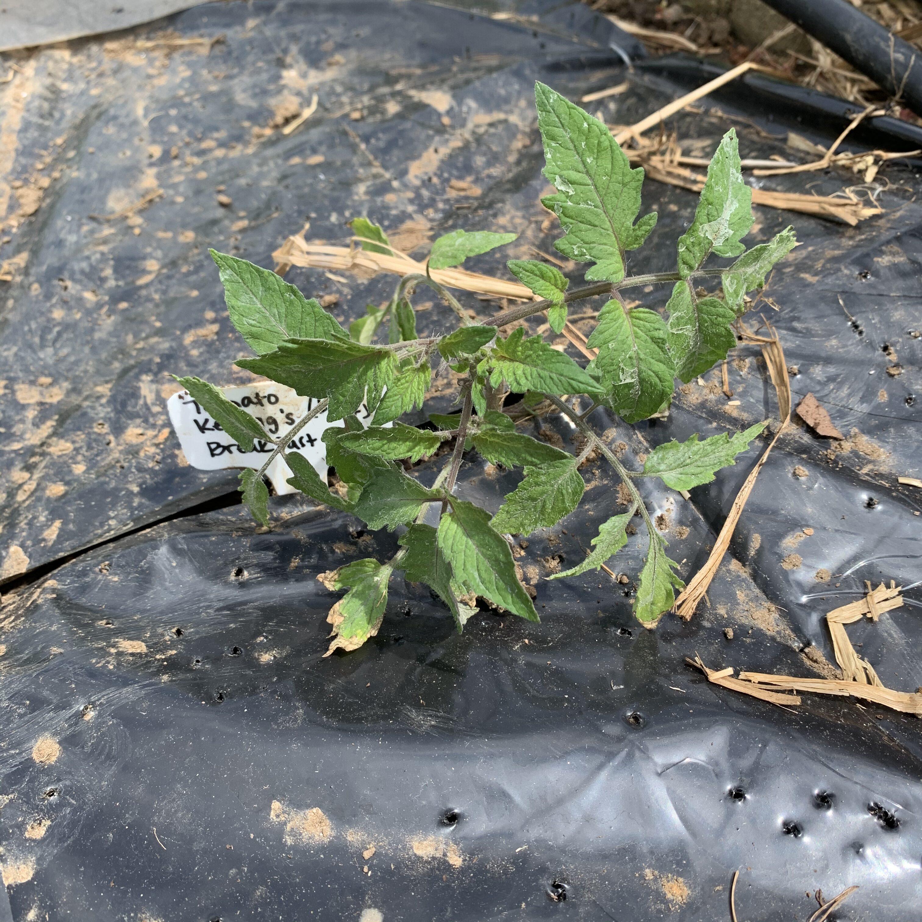 7102264E CF9A 4559 9F80 2A4F1C2C9DF6 Tomato planting day!