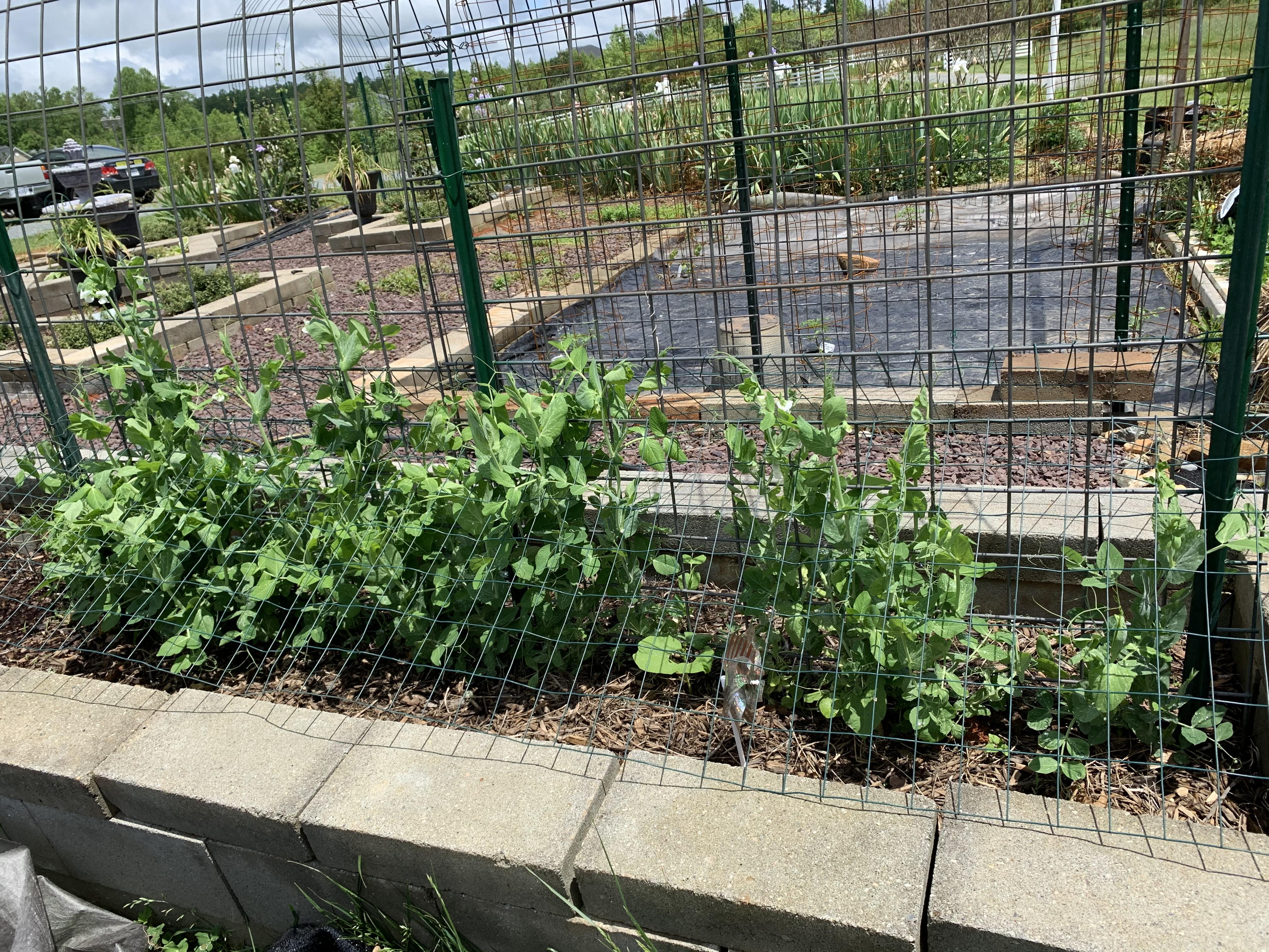 7BBB52D4 E2C4 4893 944D A8F3EBC0608C Cucumbers planted!