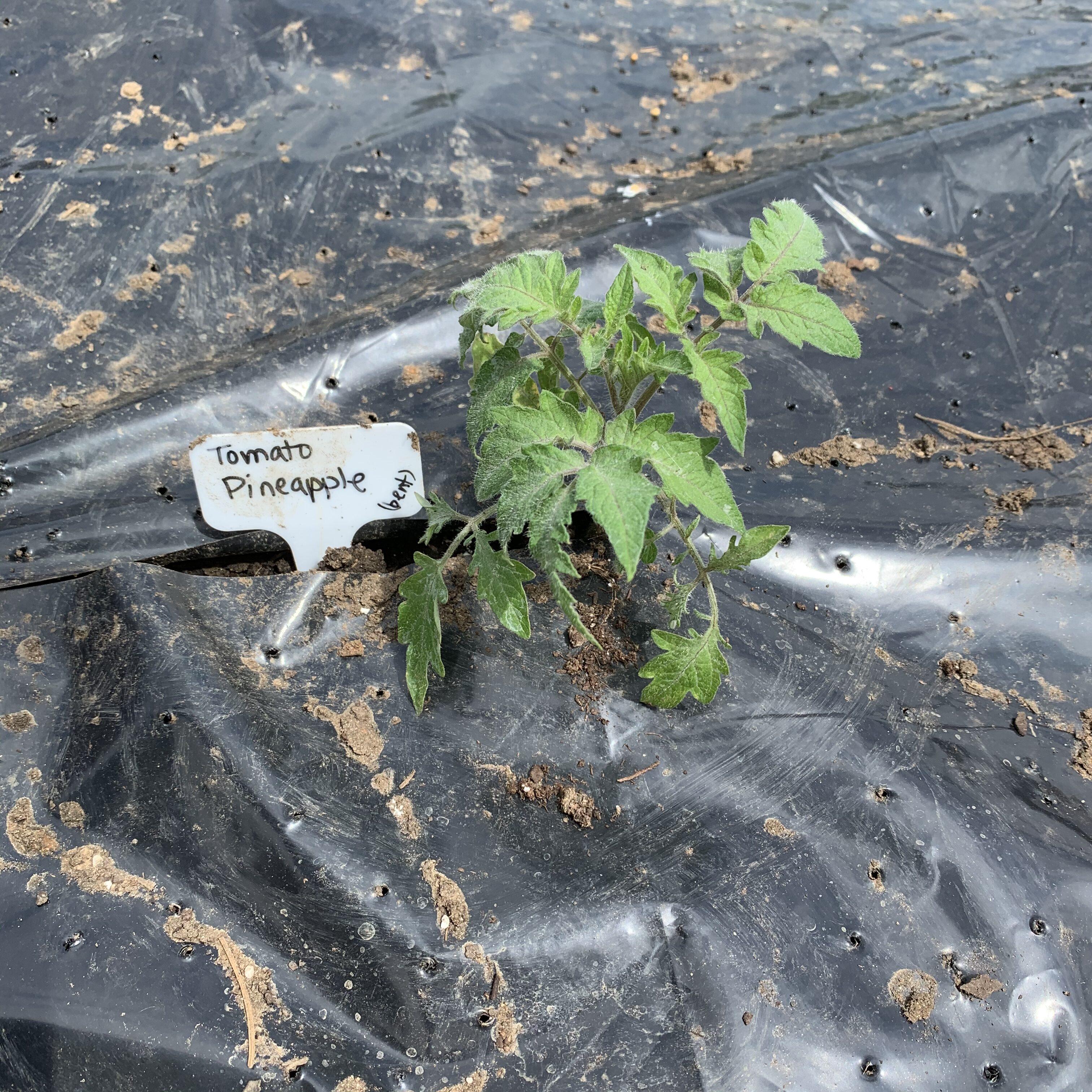 949B9C6F 5637 4BC9 AD6E 3CC4C9B9DE8A Tomato planting day!