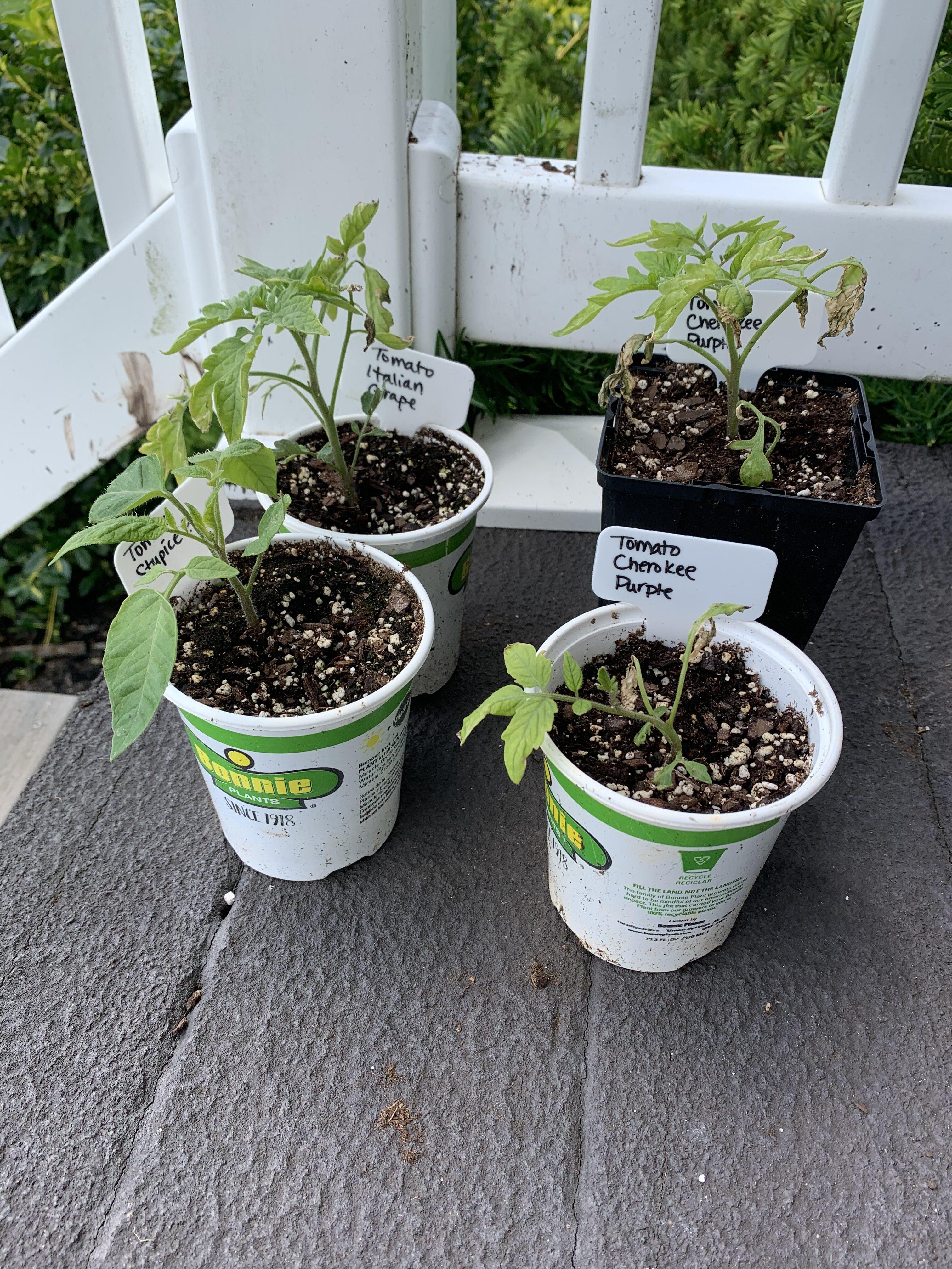 94DE1B58 6997 40E9 8221 8EA918199A8A Cucumbers planted!
