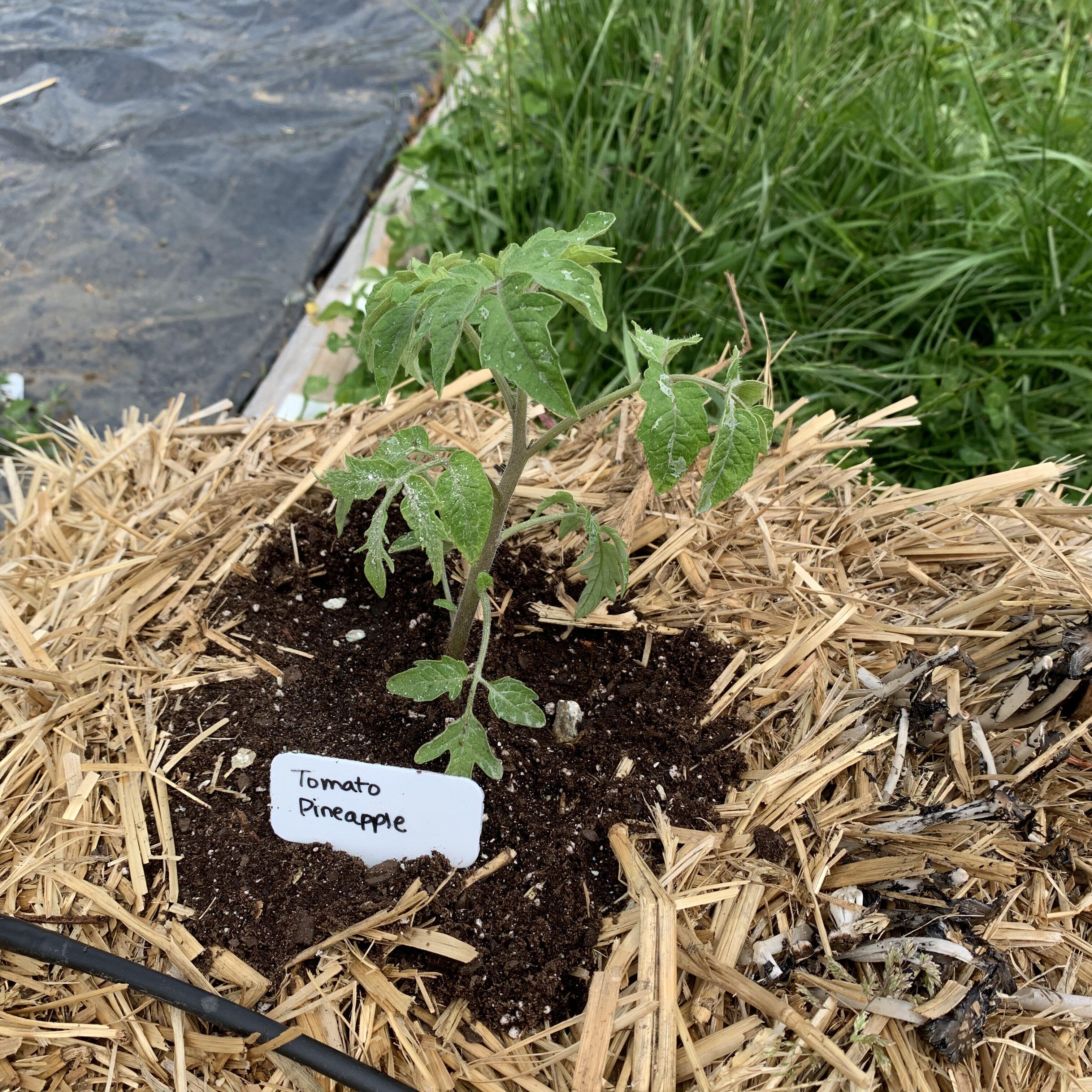 9A18E073 0988 4020 872F 26171139815F Tomato planting day!