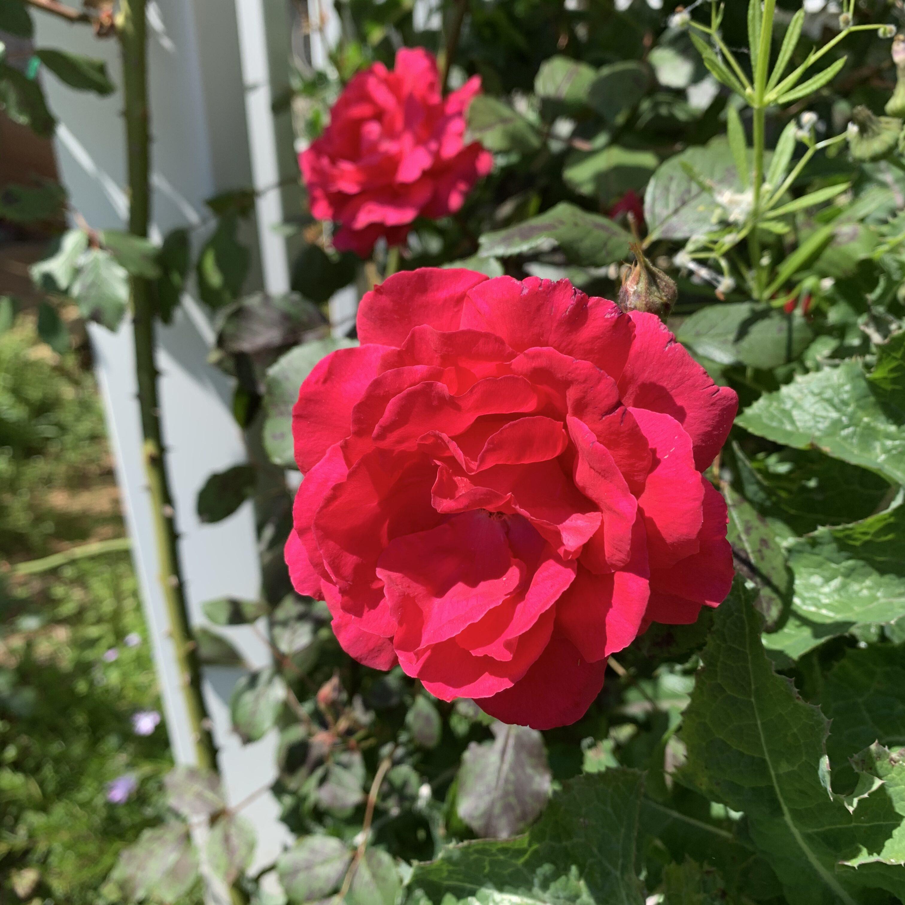 AE3A109E 658C 48CC ABF1 3F2FD0712357 Tomato planting day!