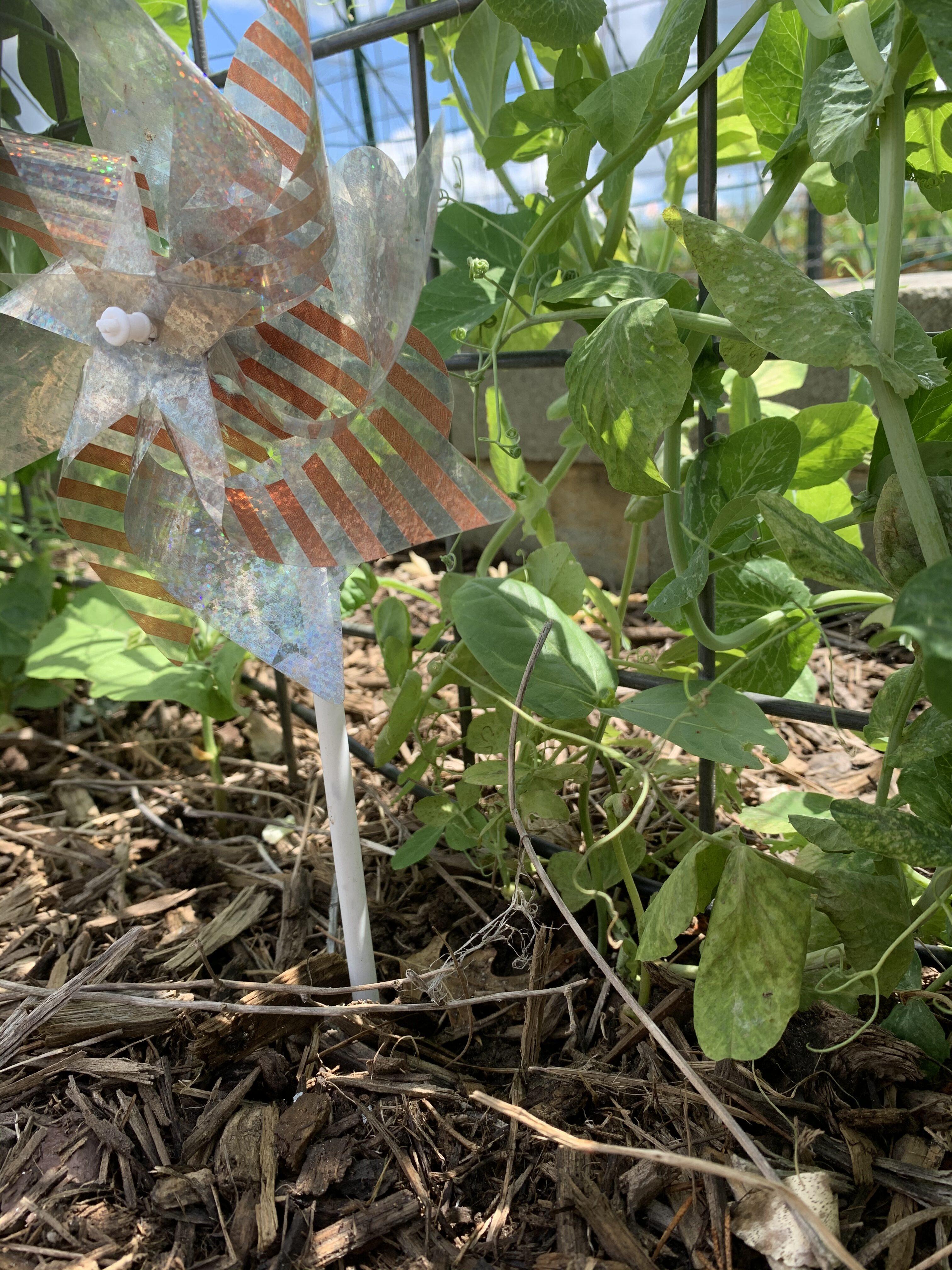 B66D3011 CC9B 484F BAD1 102DF0DAE800 Cucumbers planted!