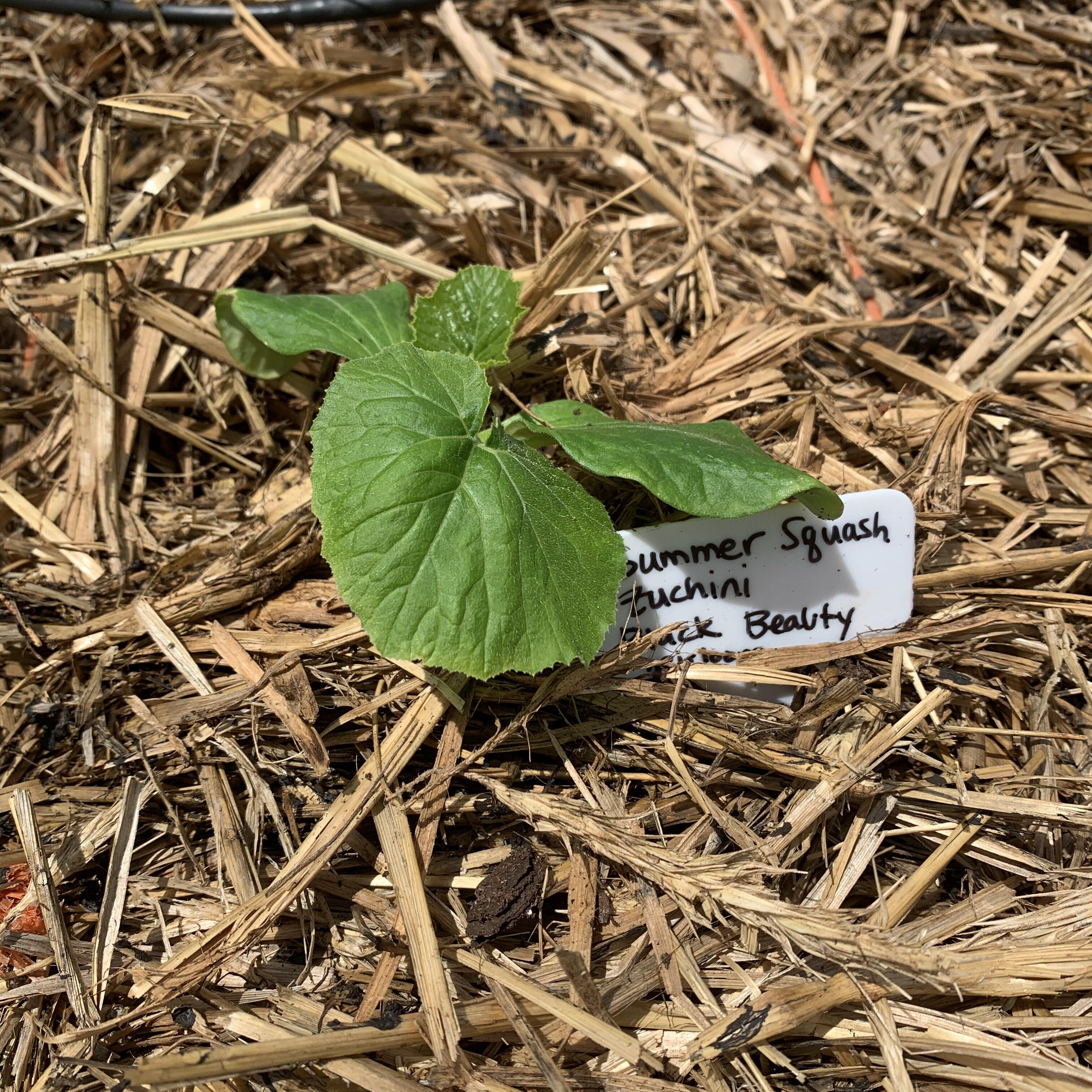 BAC1431A 0844 465A BA70 6BBCCBC3870A Cucumbers planted!
