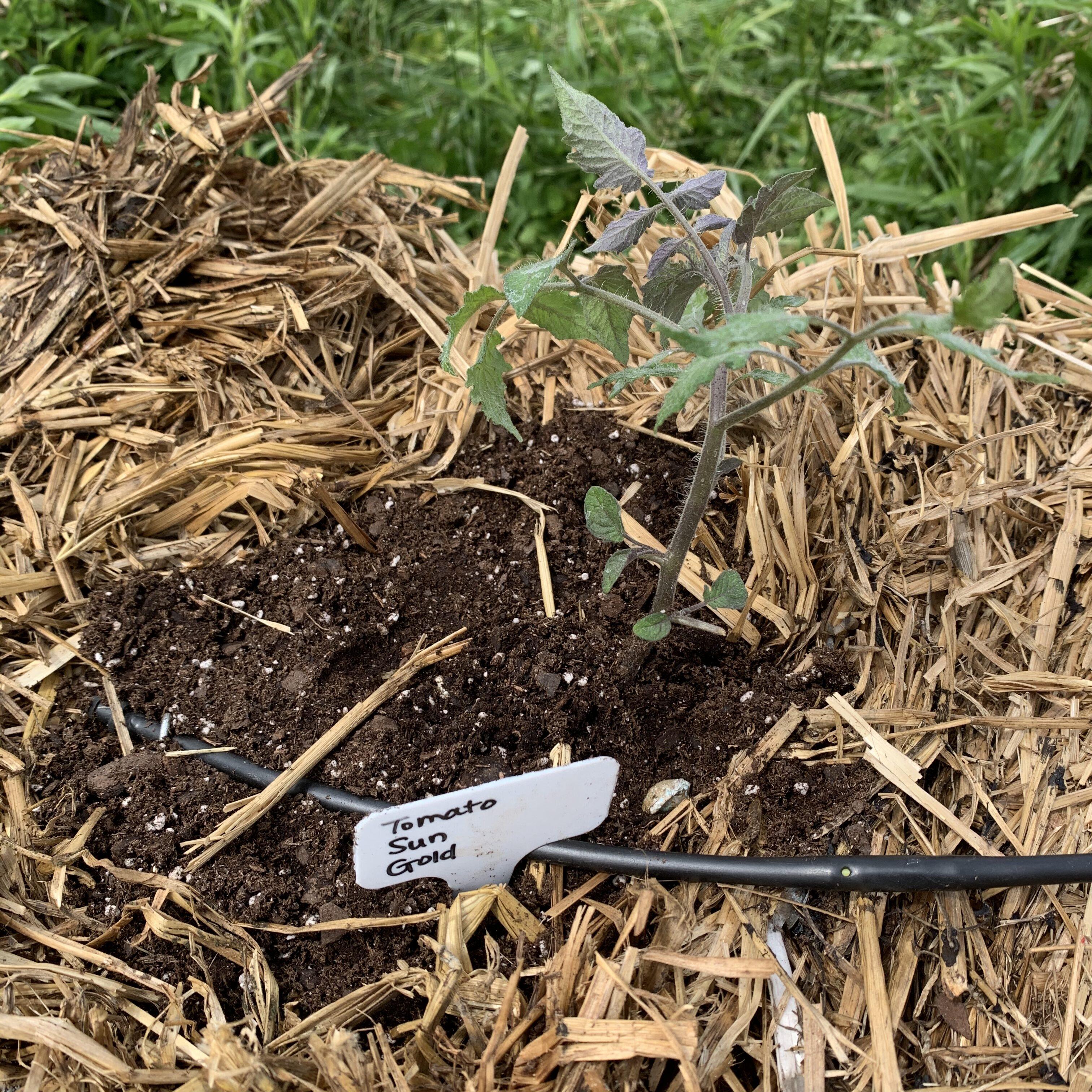 CC077BF9 56F3 46FD A1E0 67E799187BEC Tomato planting day!