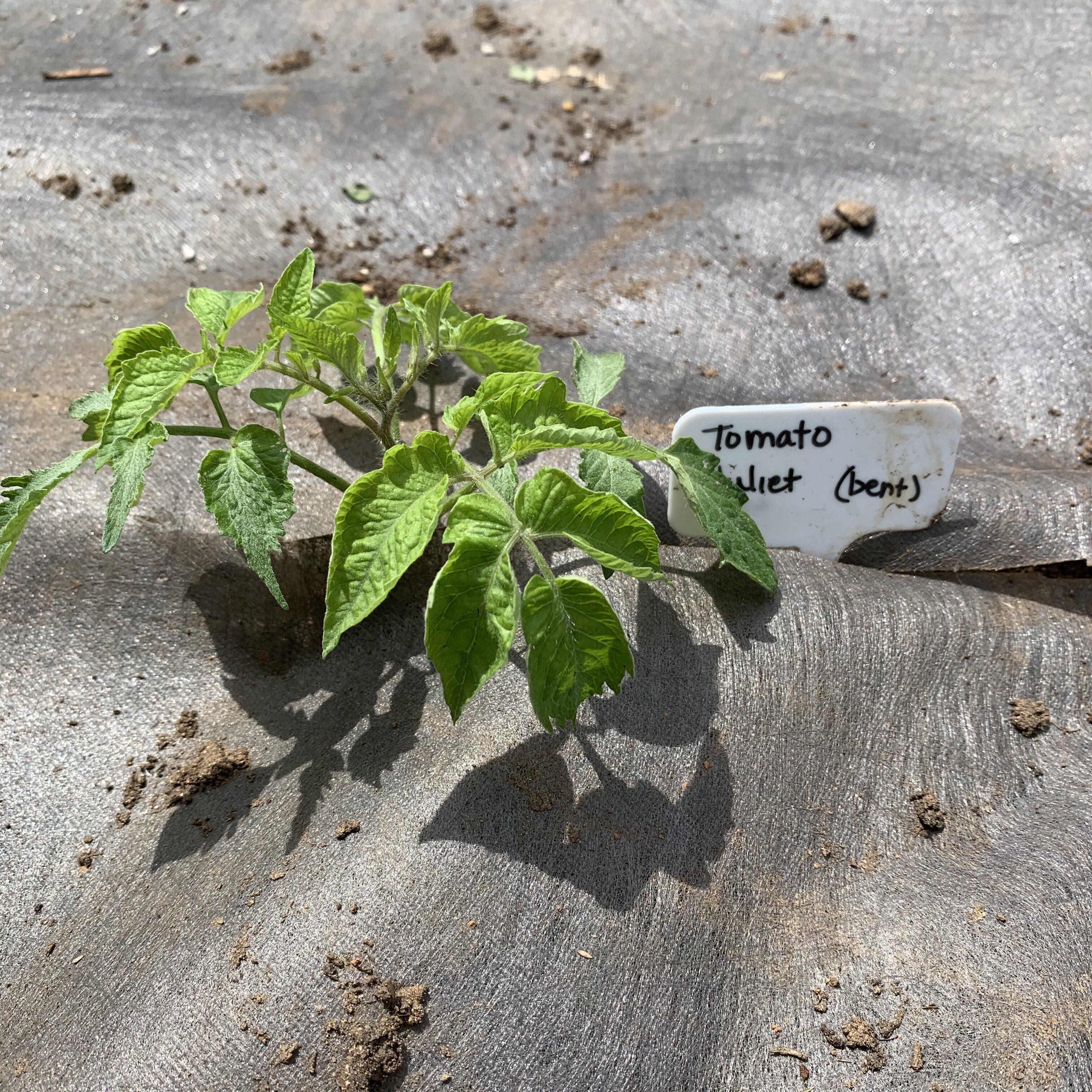 CE5C4CD7 5453 498E AB5E 4DCF22E2B802 Tomato planting day!