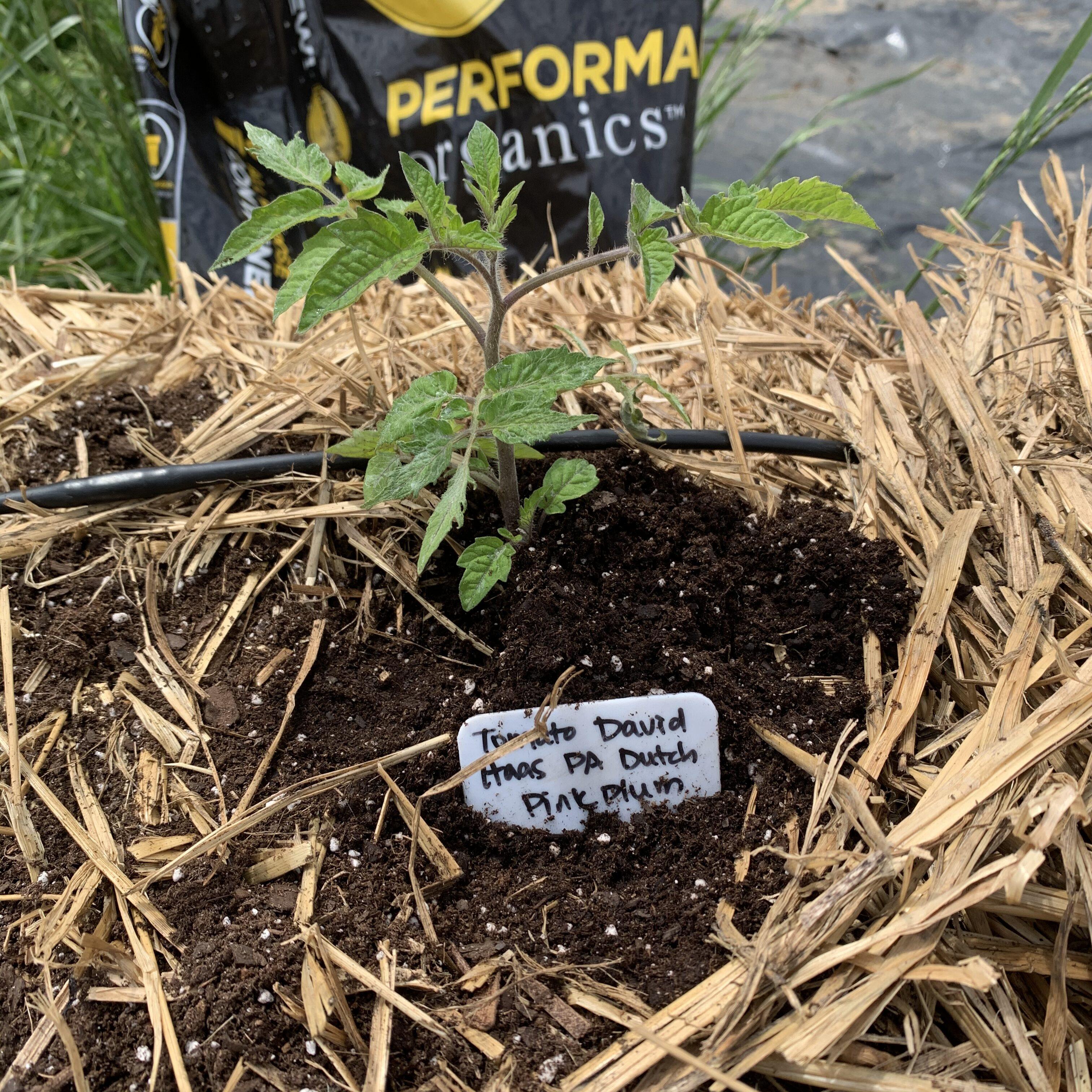 D56A34EA 17AE 4EA8 BB2E 36F83A919C2E Tomato planting day!