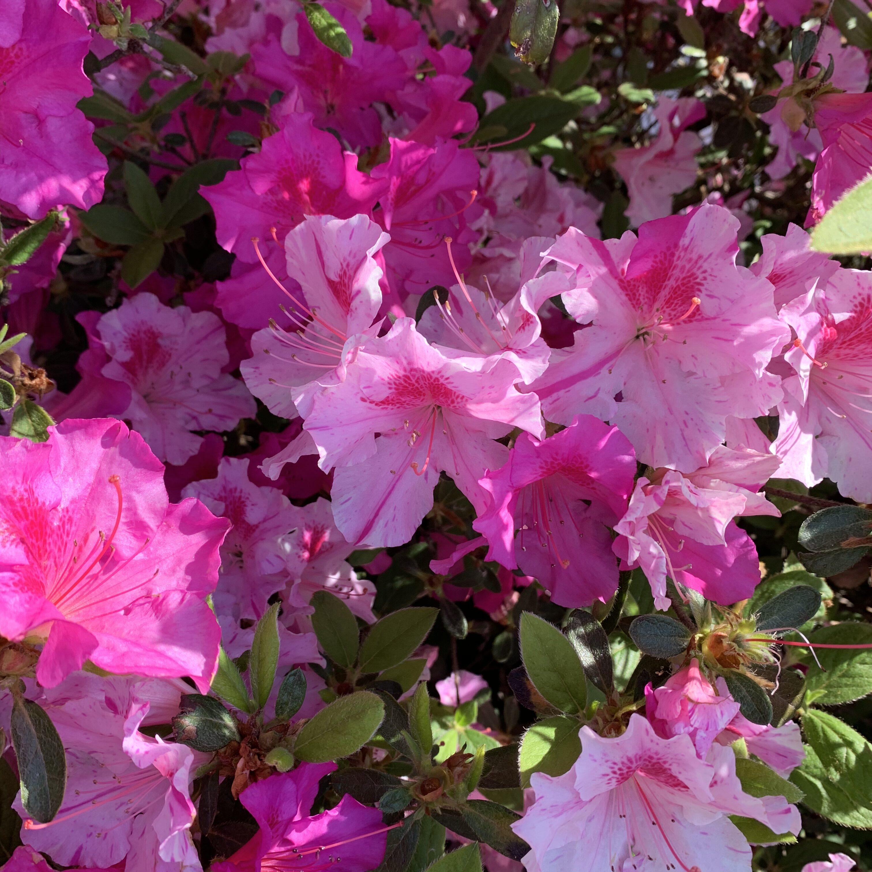 EE35CC91 A9B6 4673 99E6 6B89499C1879 Bear Claw blooms