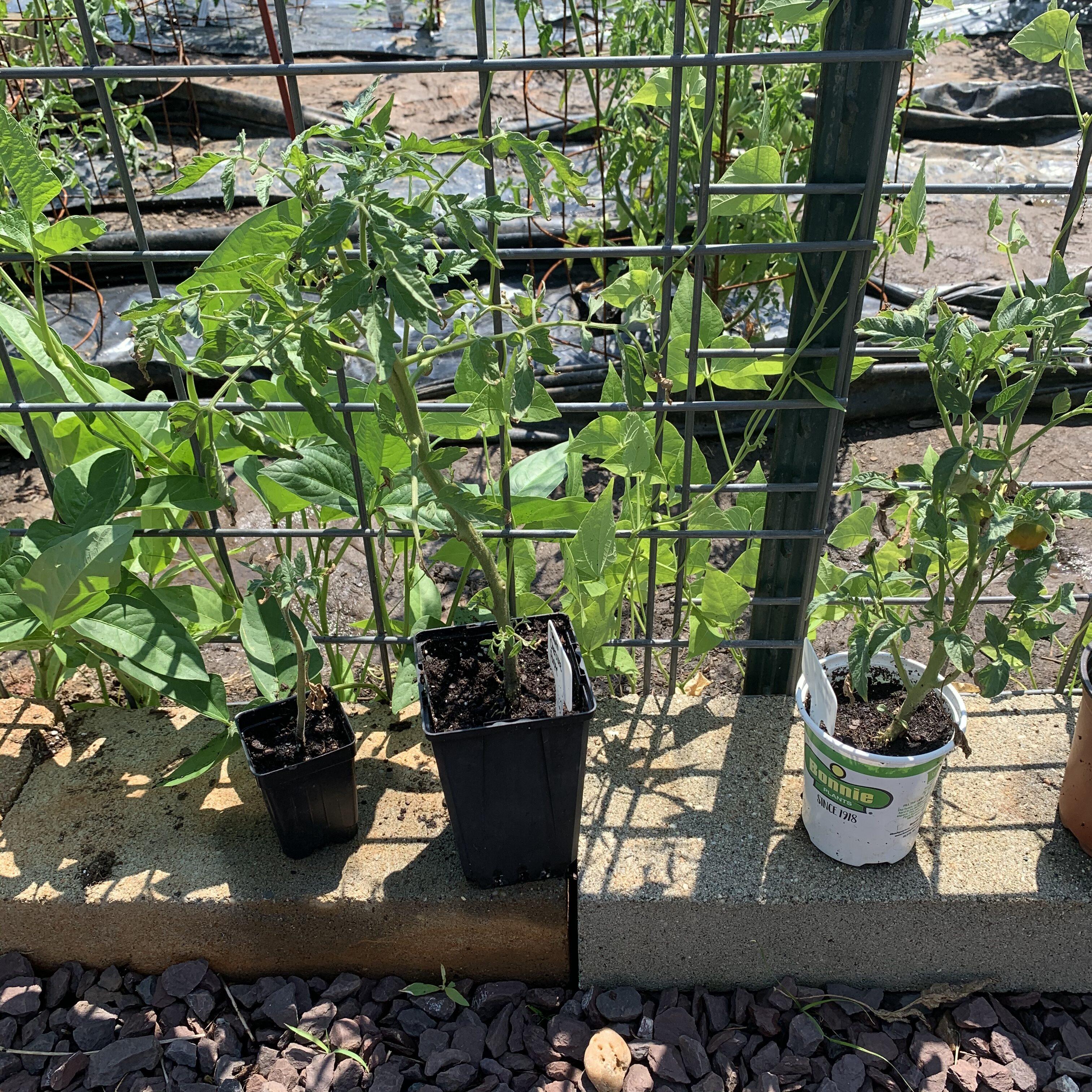 138FEB2C 7A8B 44DF AAF2 4075A97968BA Fourth of July Tomato!