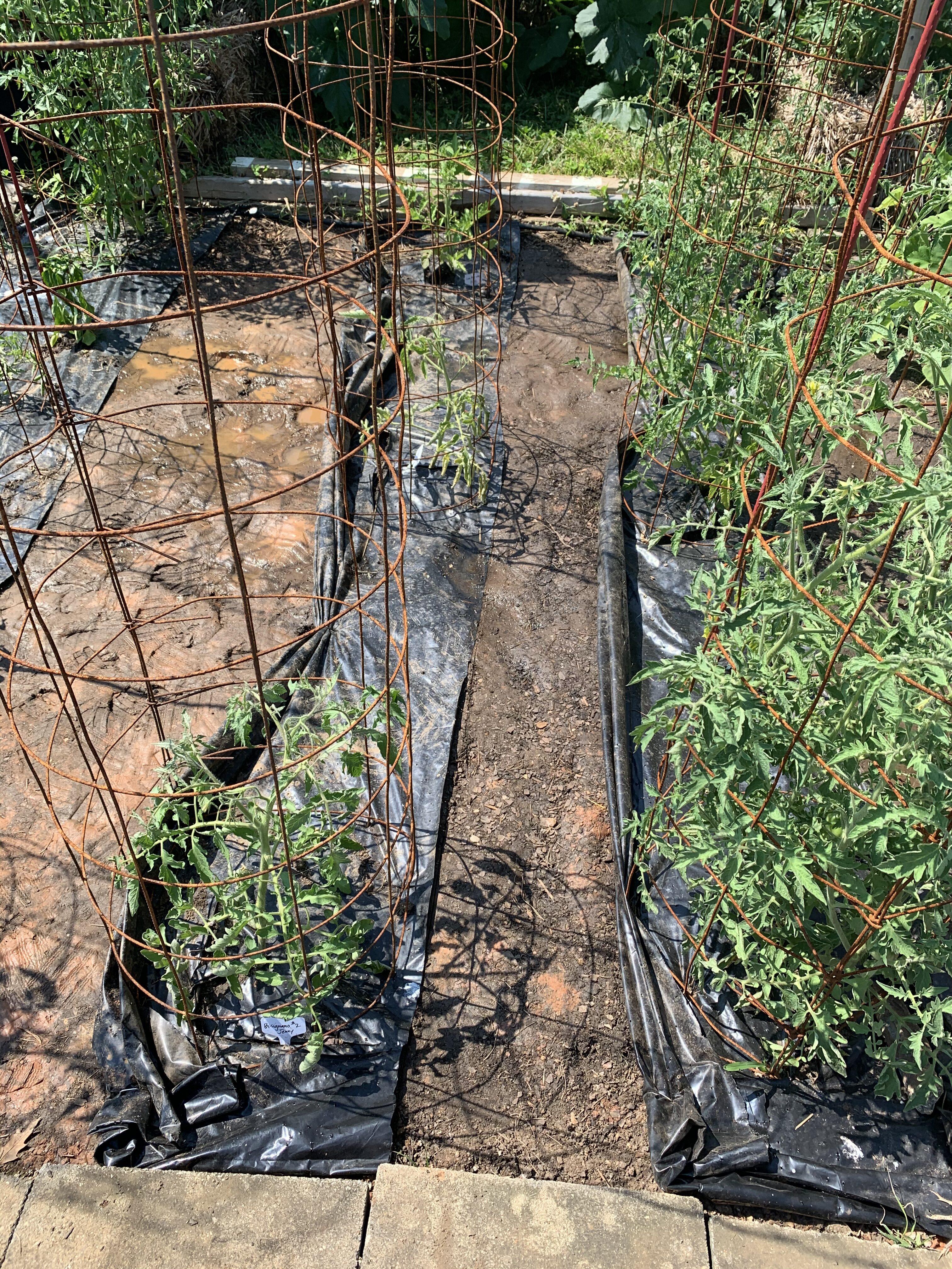 17467EBB 2FDC 40C3 9127 9CDF160CCF09 Fourth of July Tomato!