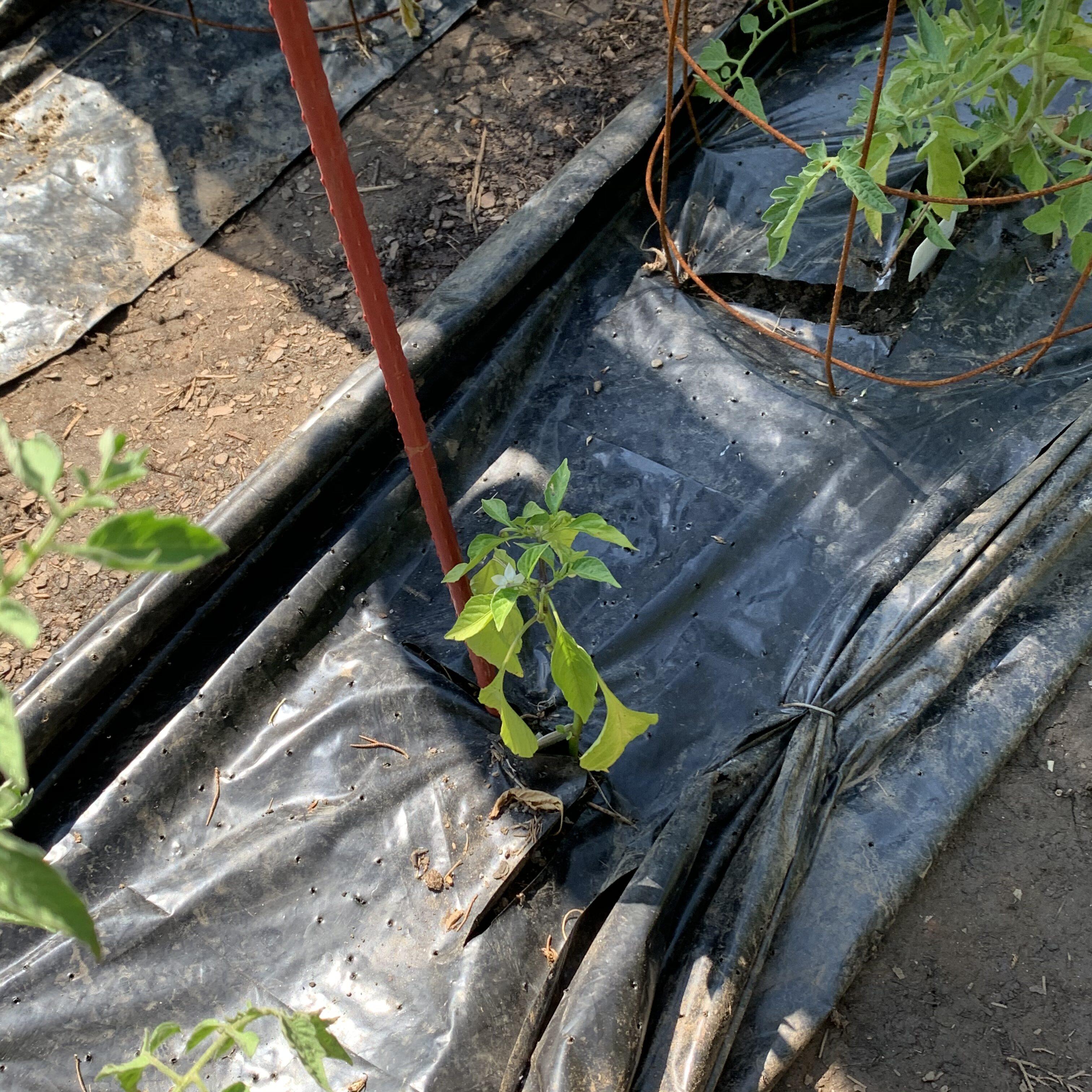 252CB512 DA12 434E B970 C4B6AA16E4EB Fourth of July Tomato!