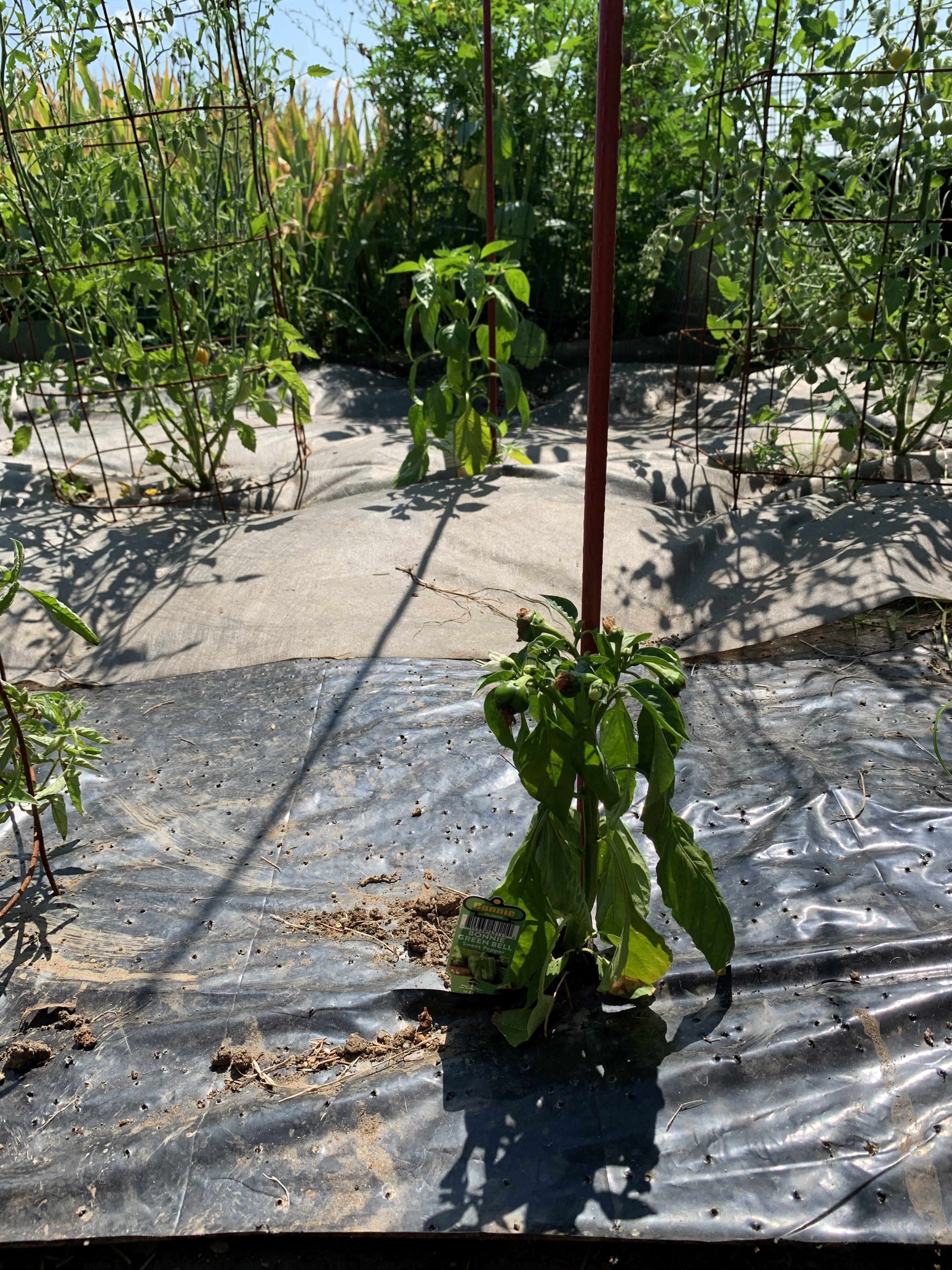 4C812595 9081 4766 9F2A 40F99FDD0DDE Fourth of July Tomato!
