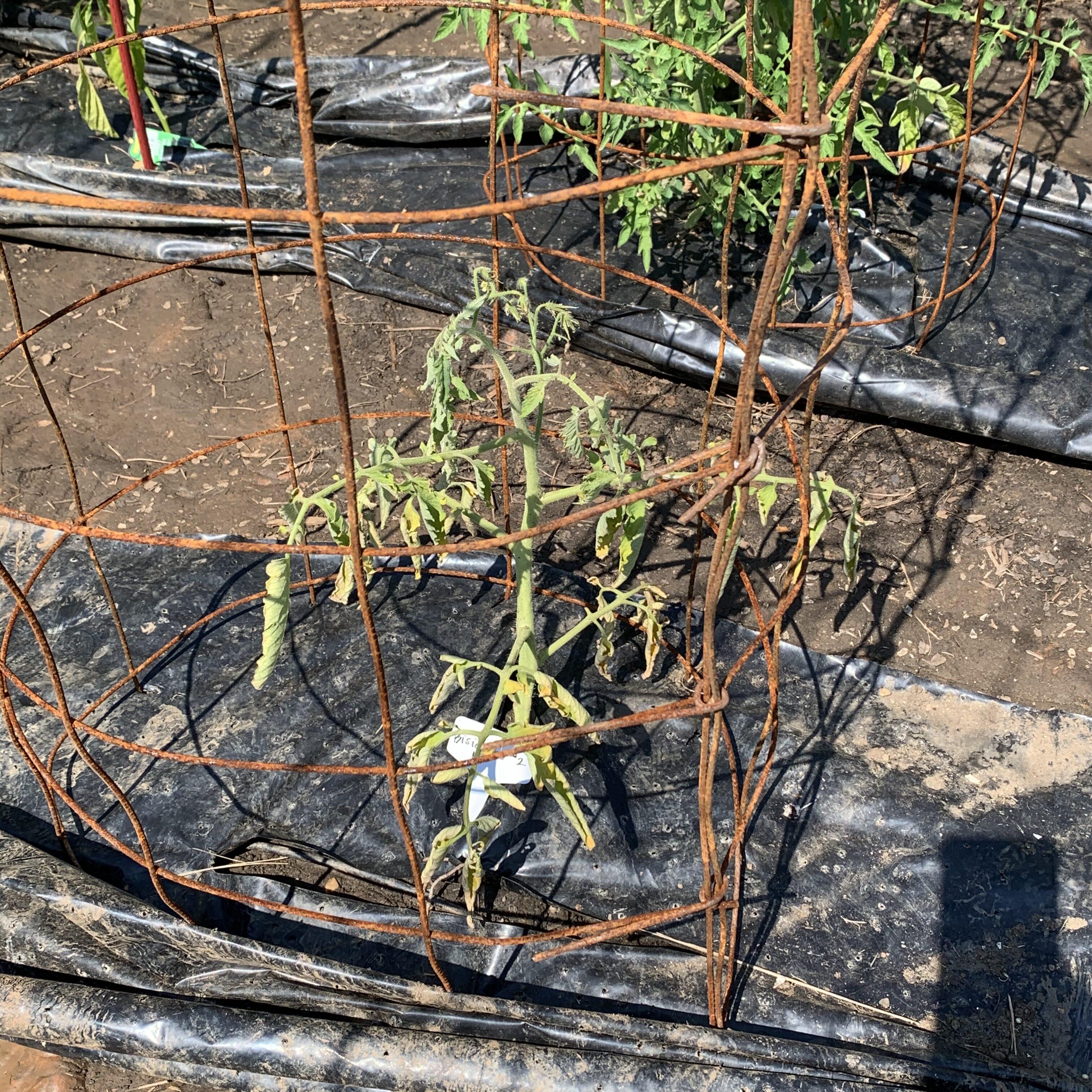 56C3DC2E 9591 4BC1 BA5D BD2D38A1C801 Fourth of July Tomato!