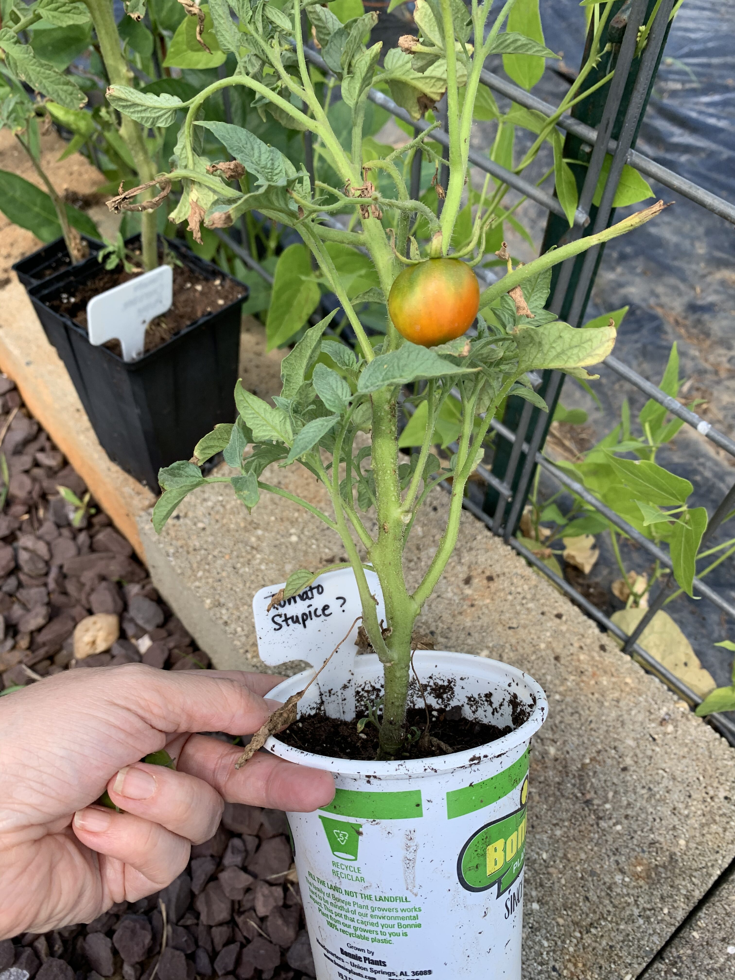 680122C6 E315 45DD AAB4 37E55F1F415E Fourth of July Tomato!